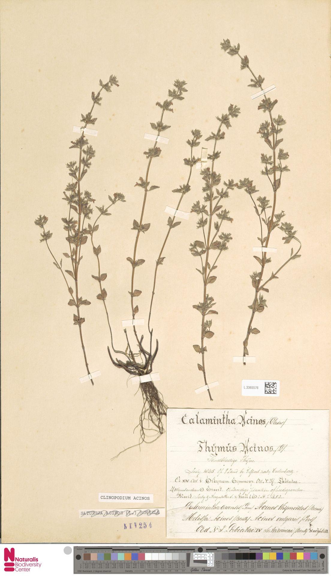 L.3365576   Clinopodium acinos (L.) Kuntze