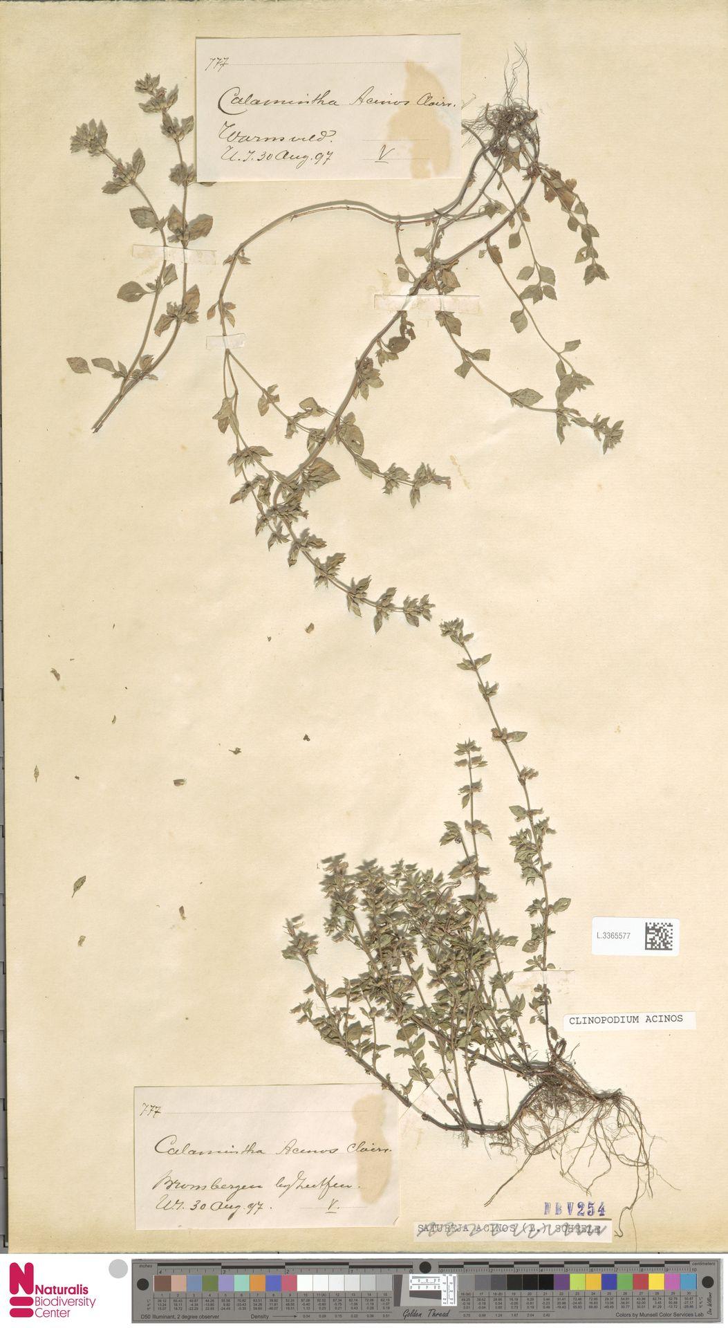 L.3365577   Clinopodium acinos (L.) Kuntze