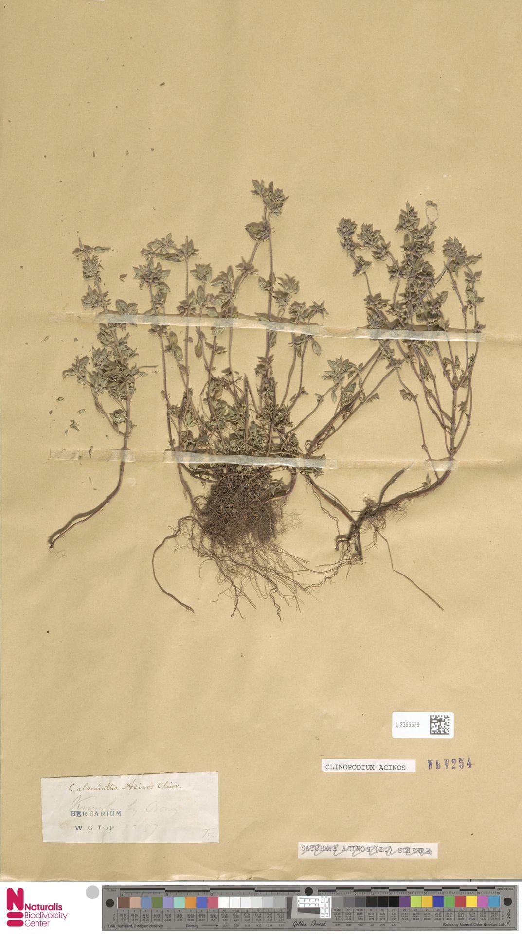 L.3365579 | Clinopodium acinos (L.) Kuntze