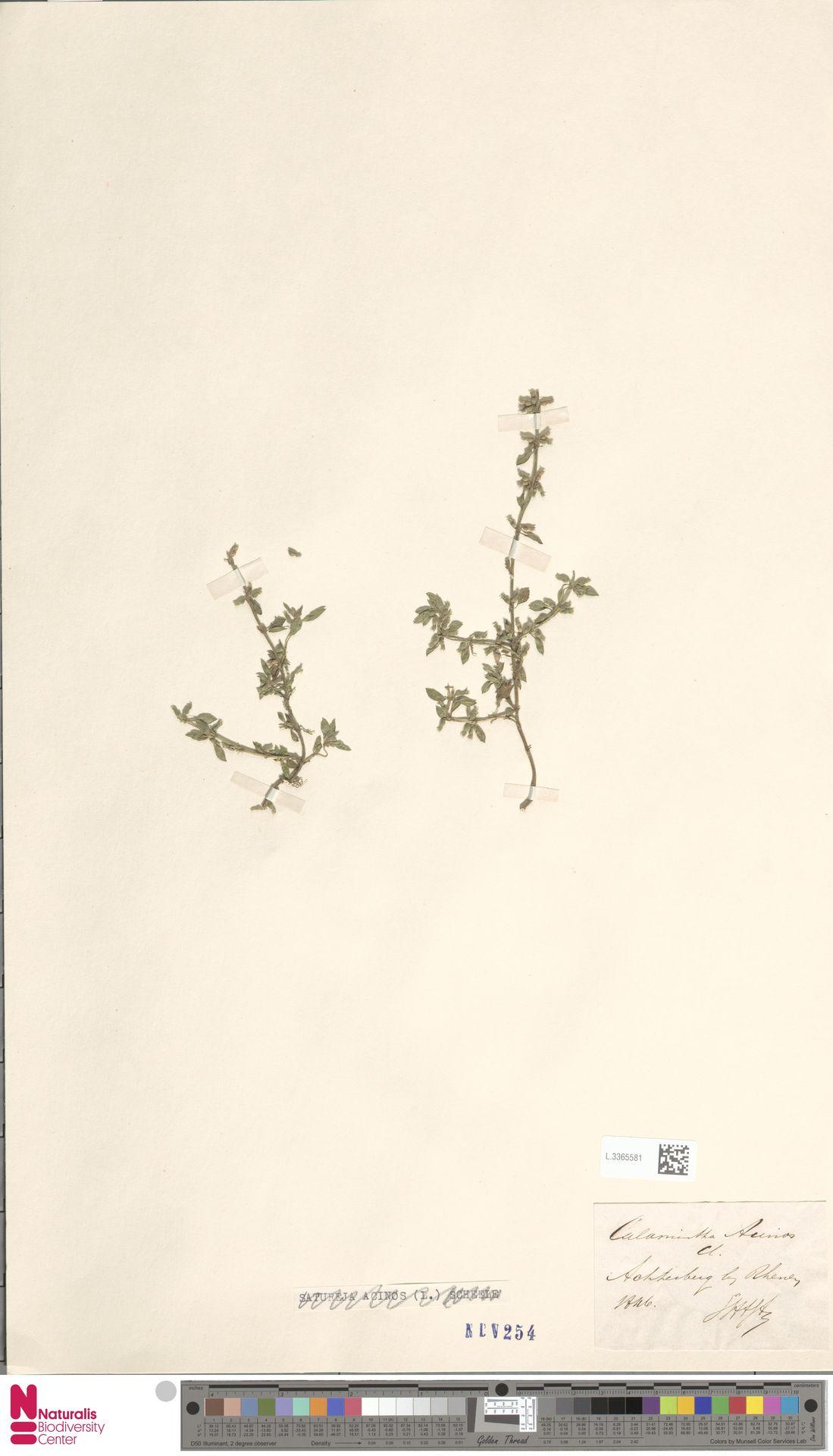 L.3365581   Clinopodium acinos (L.) Kuntze