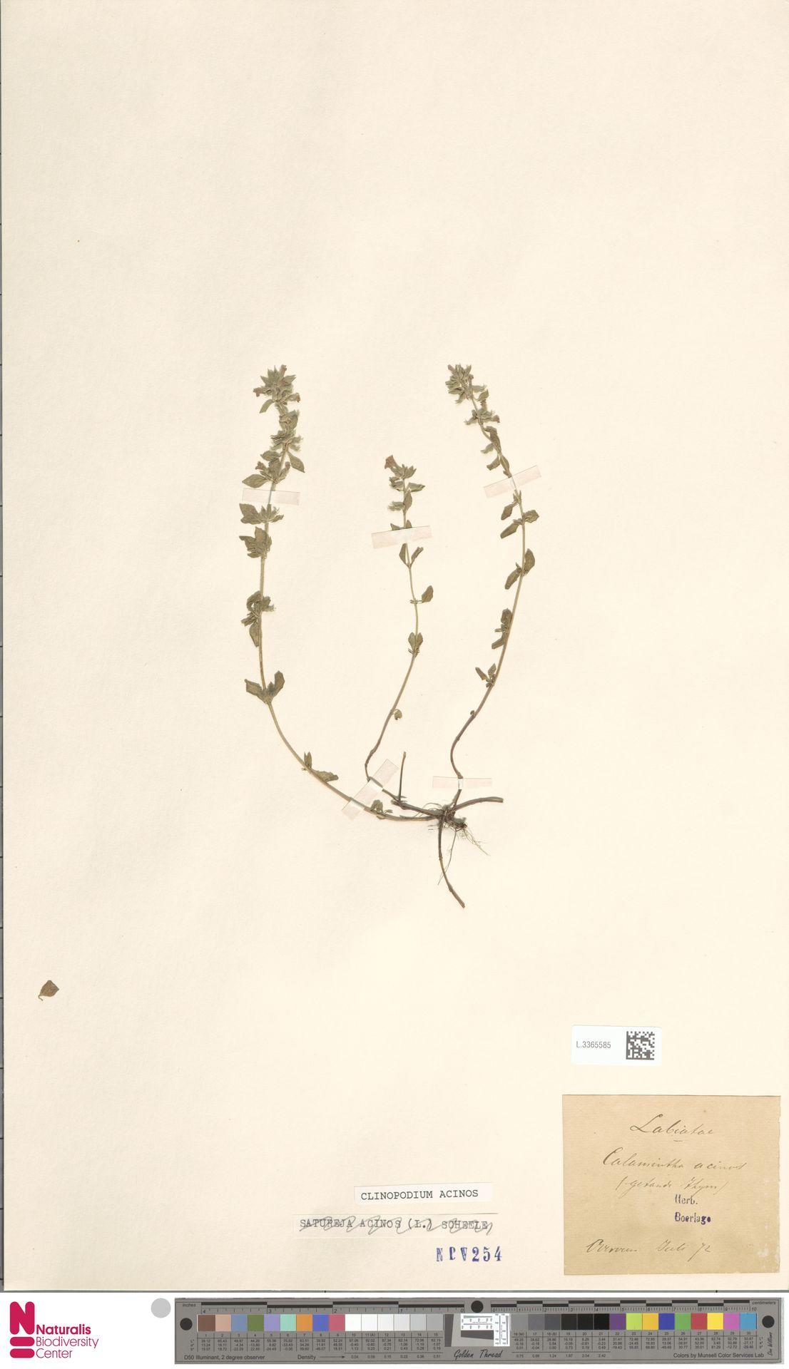 L.3365585 | Clinopodium acinos (L.) Kuntze