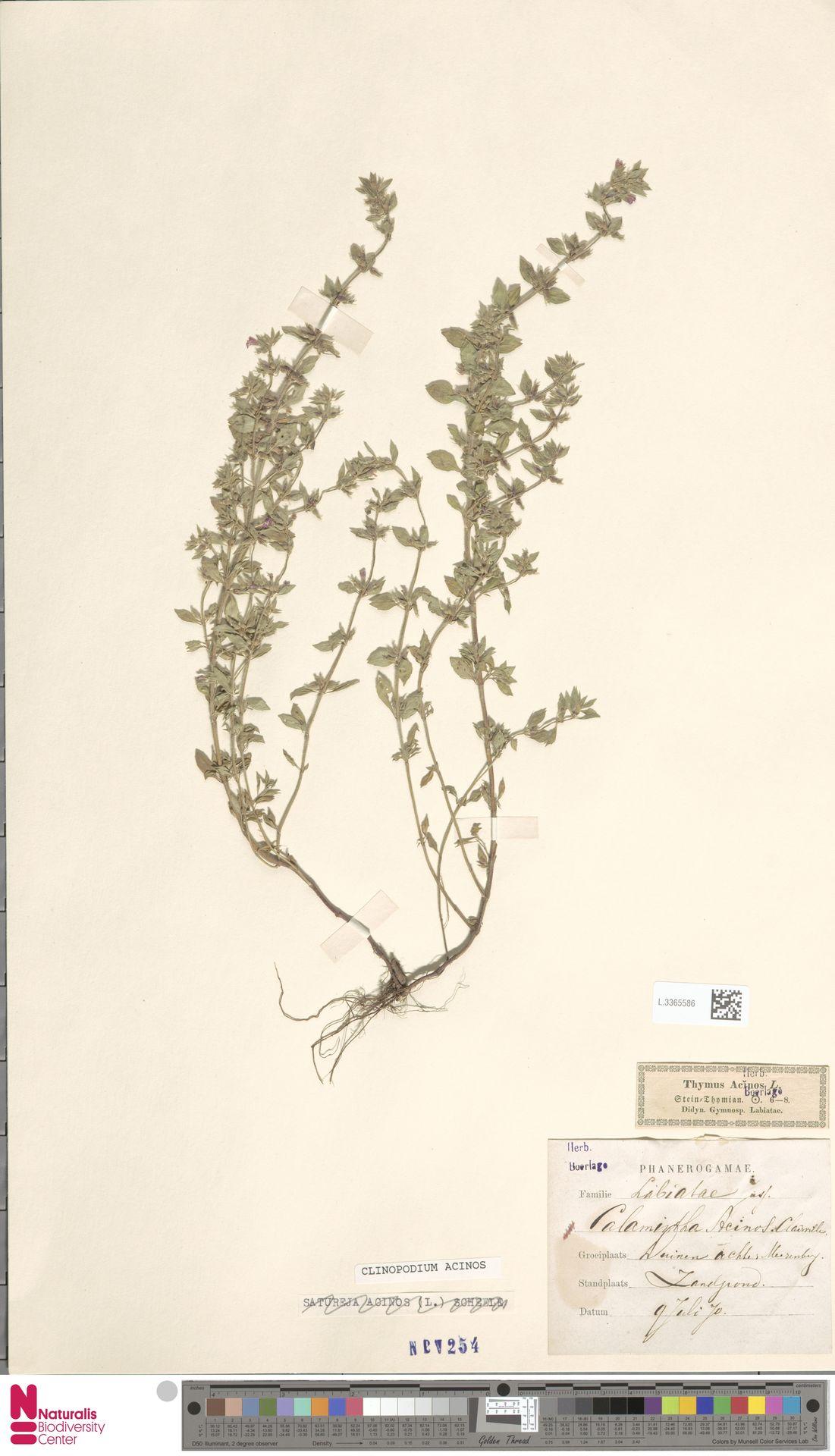 L.3365586 | Clinopodium acinos (L.) Kuntze