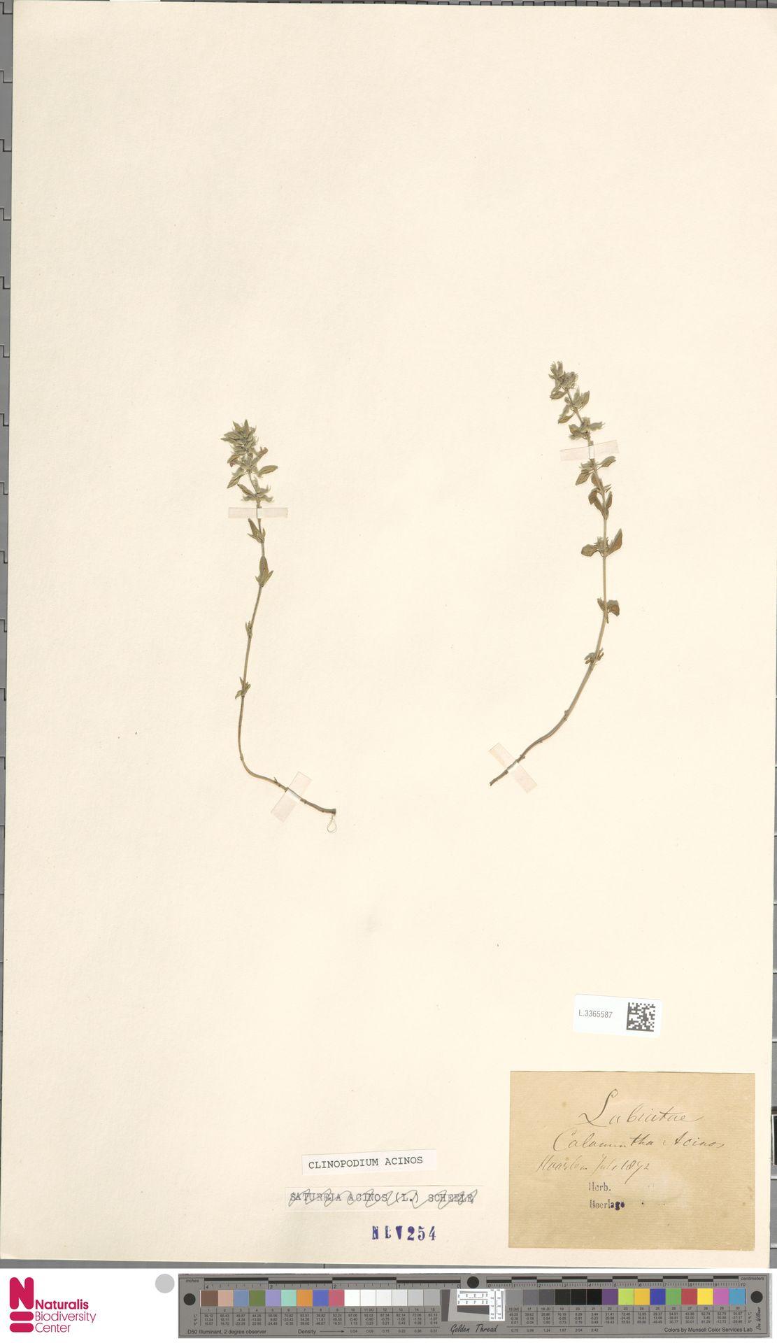 L.3365587 | Clinopodium acinos (L.) Kuntze
