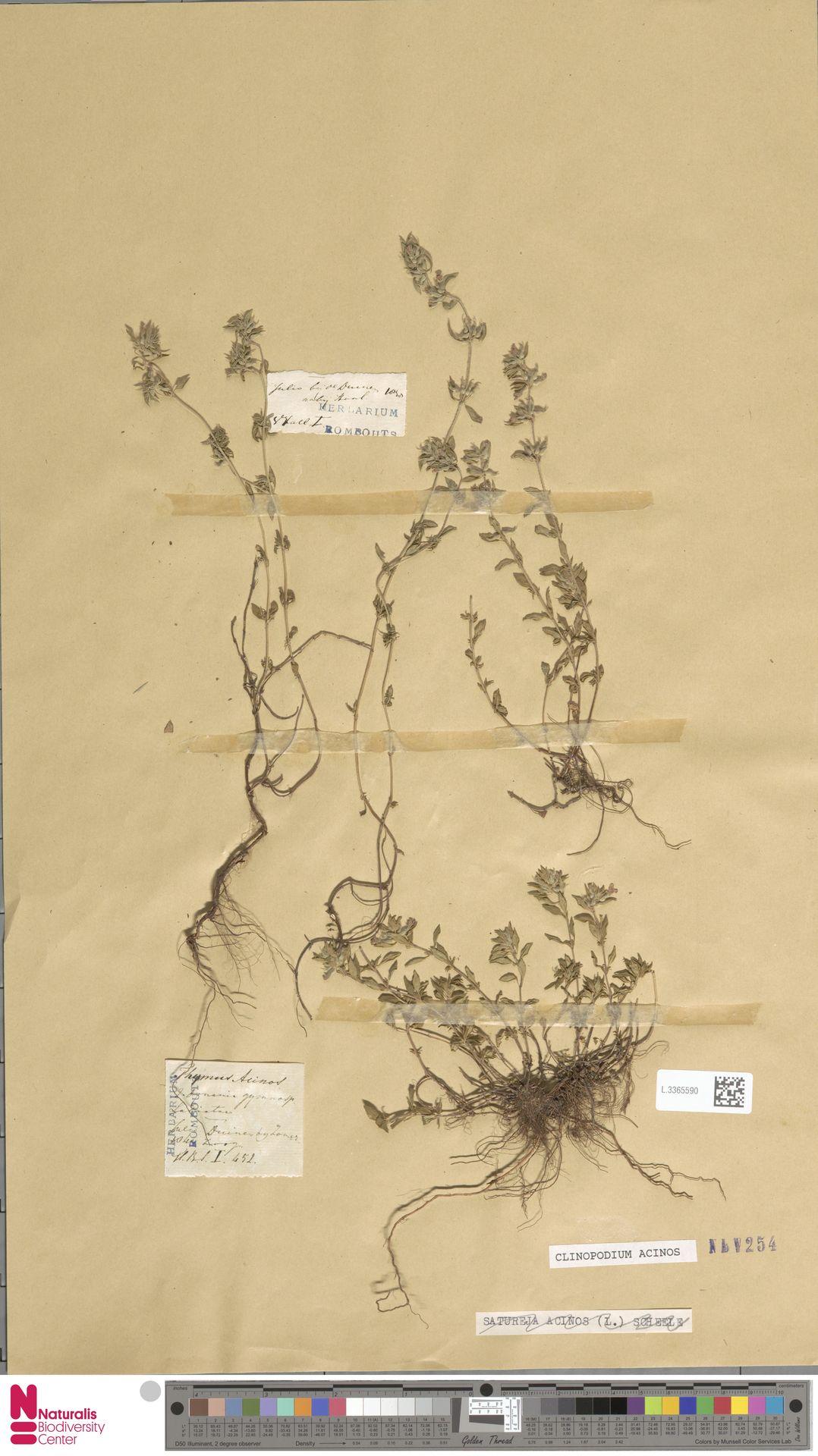 L.3365590 | Clinopodium acinos (L.) Kuntze