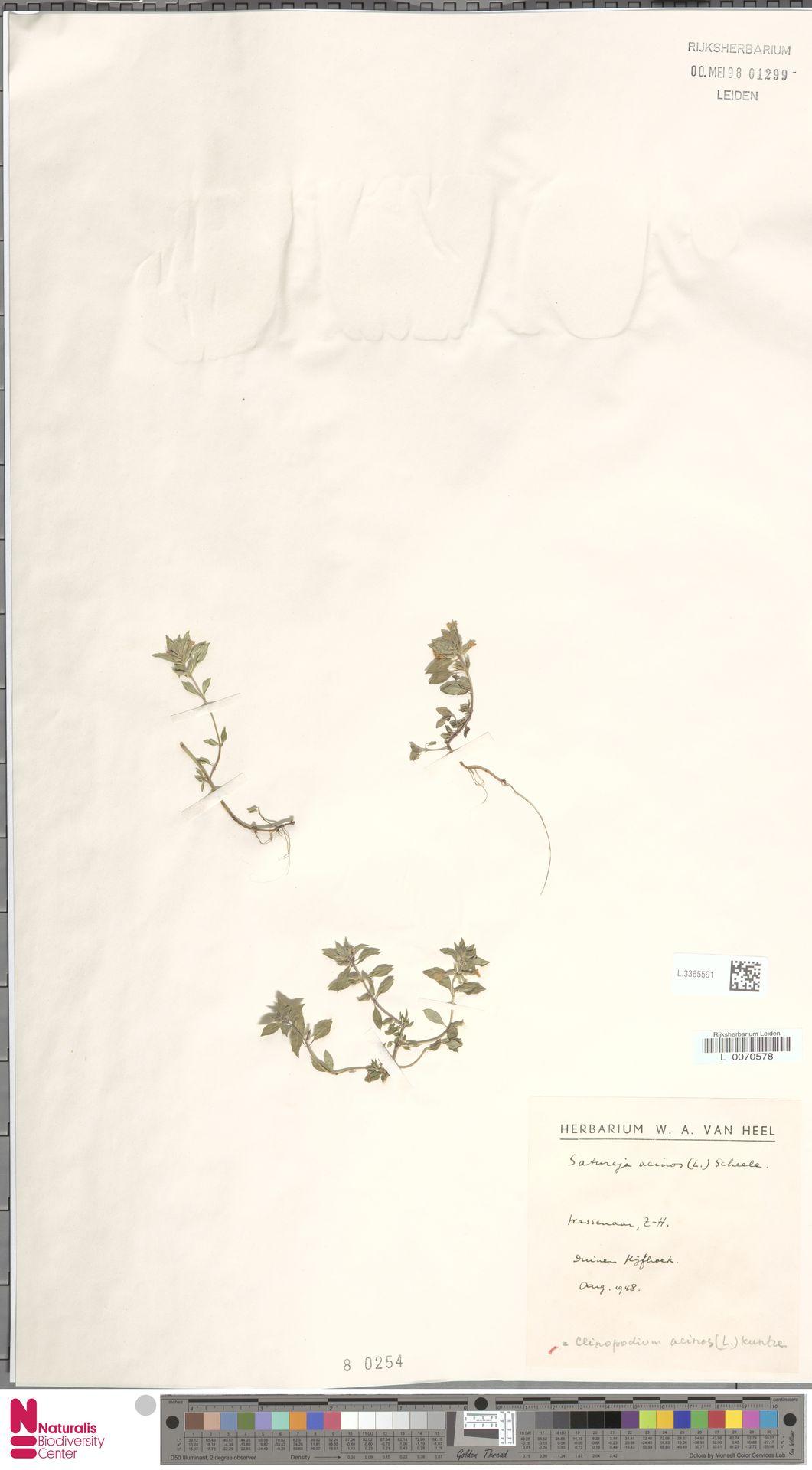 L.3365591   Clinopodium acinos (L.) Kuntze