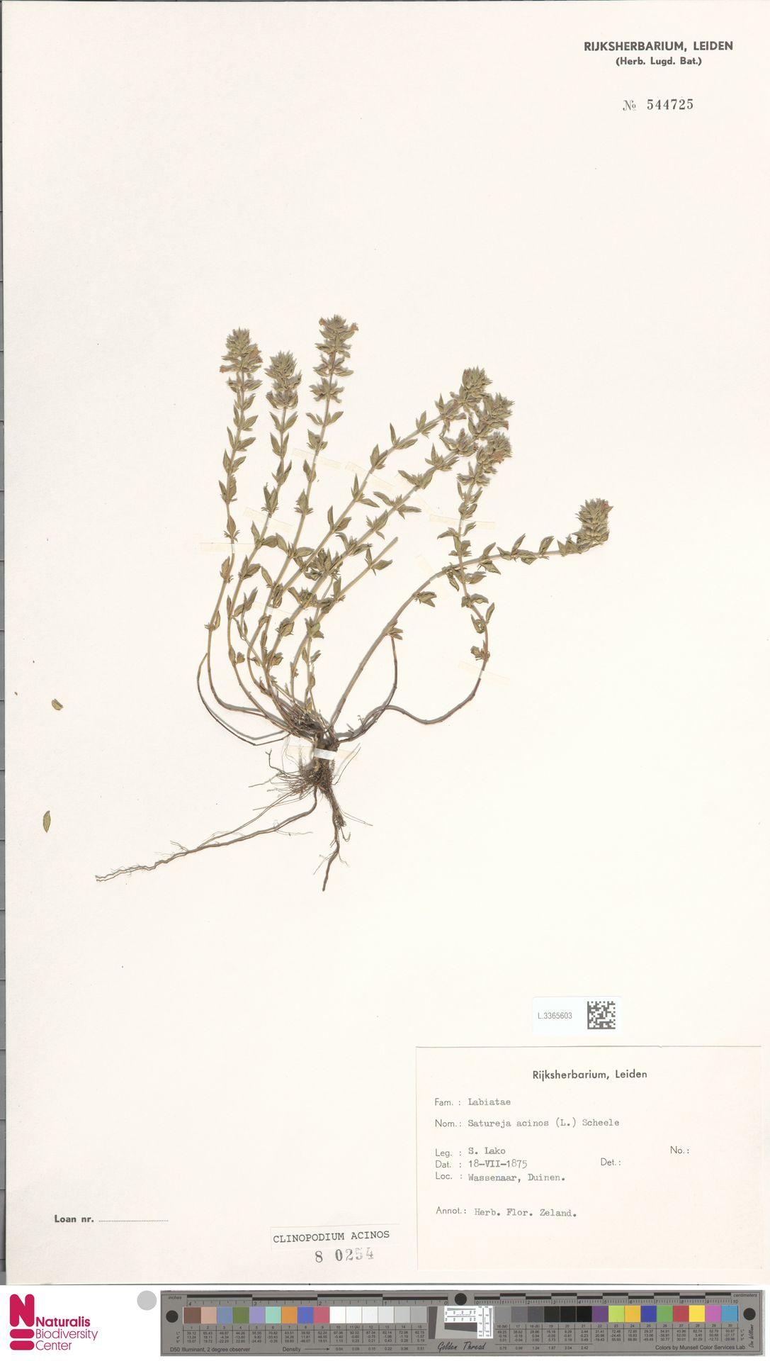 L.3365603 | Clinopodium acinos (L.) Kuntze