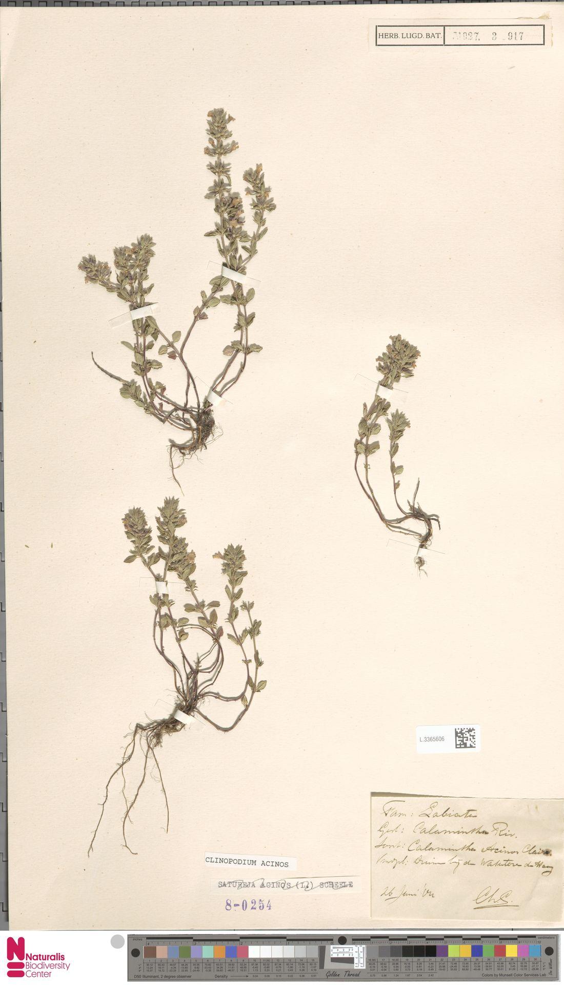 L.3365606   Clinopodium acinos (L.) Kuntze