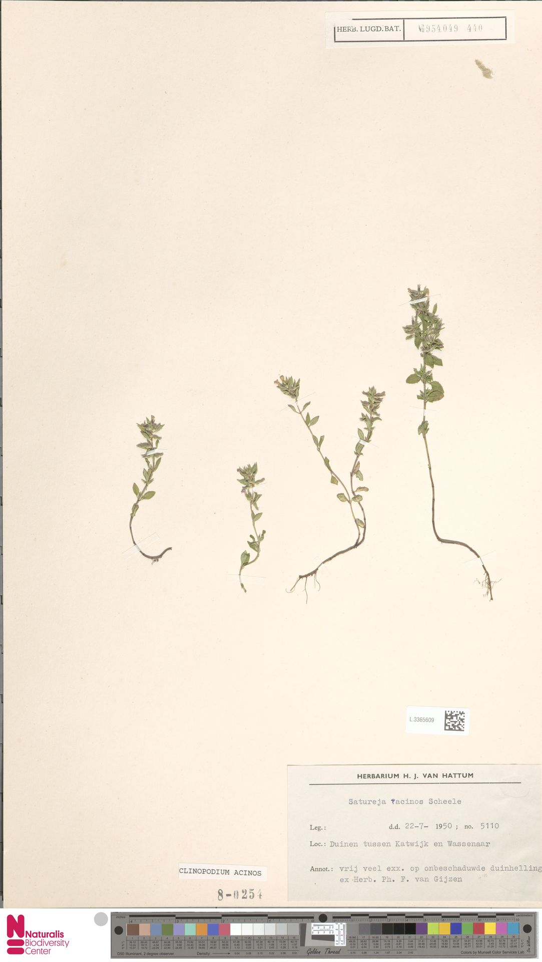 L.3365609 | Clinopodium acinos (L.) Kuntze