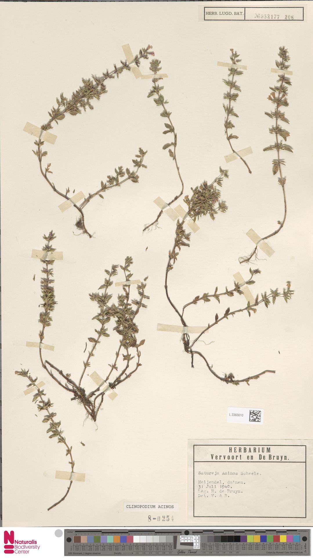 L.3365610 | Clinopodium acinos (L.) Kuntze