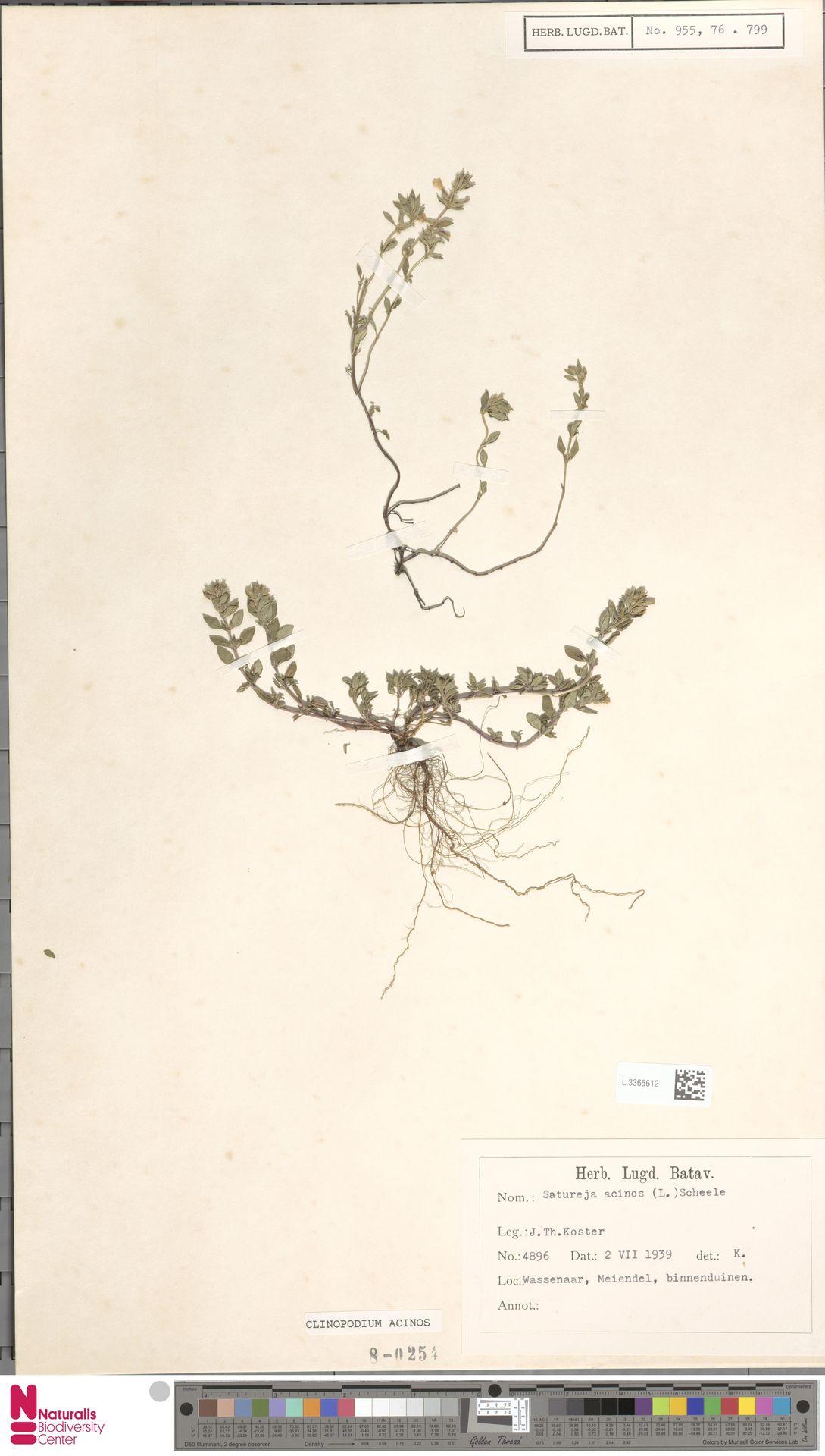 L.3365612 | Clinopodium acinos (L.) Kuntze