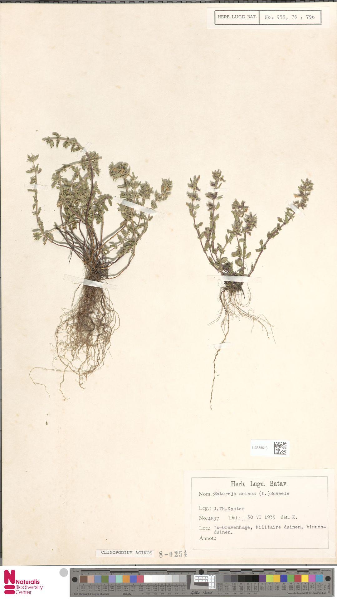 L.3365613   Clinopodium acinos (L.) Kuntze
