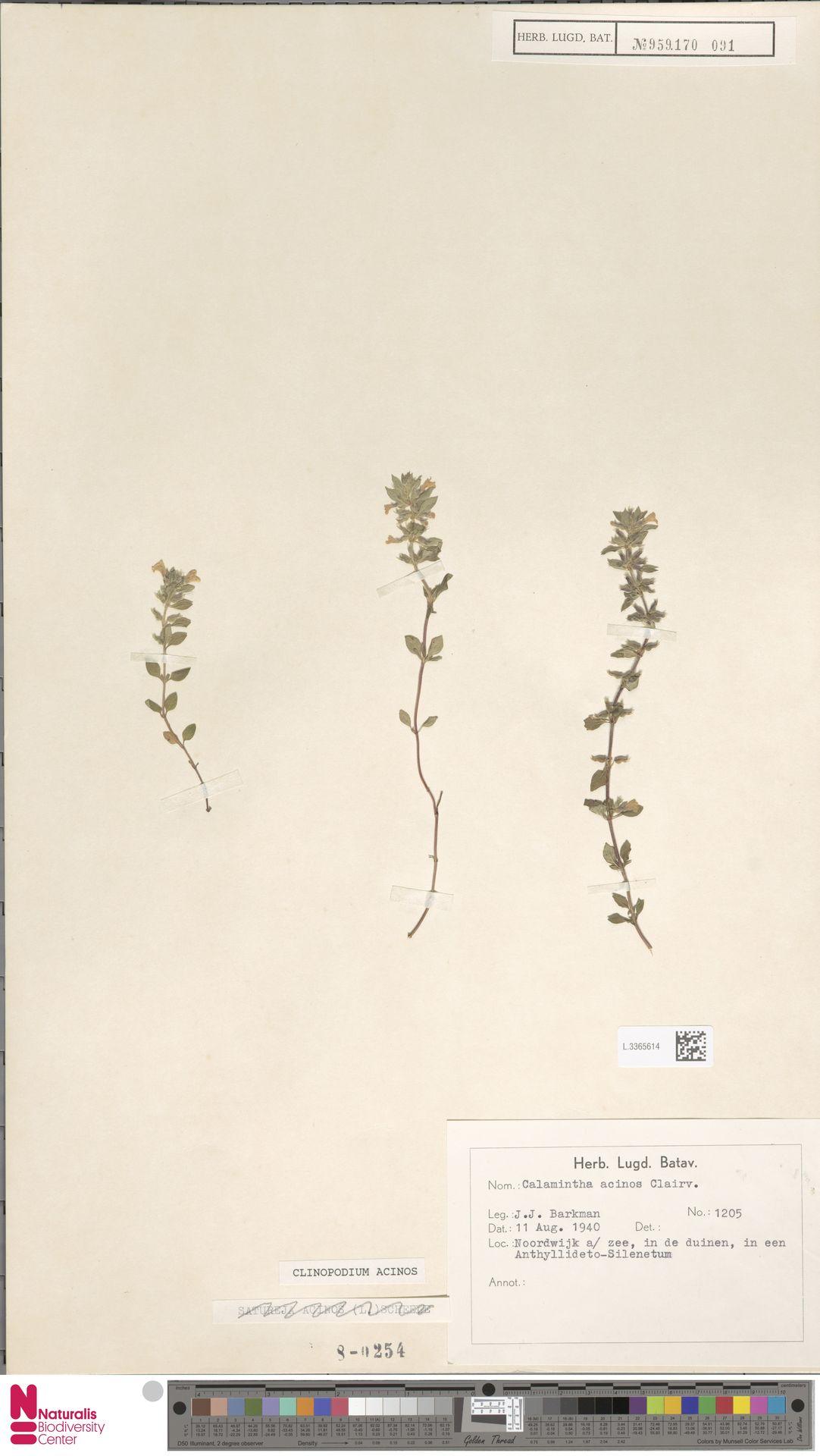 L.3365614 | Clinopodium acinos (L.) Kuntze