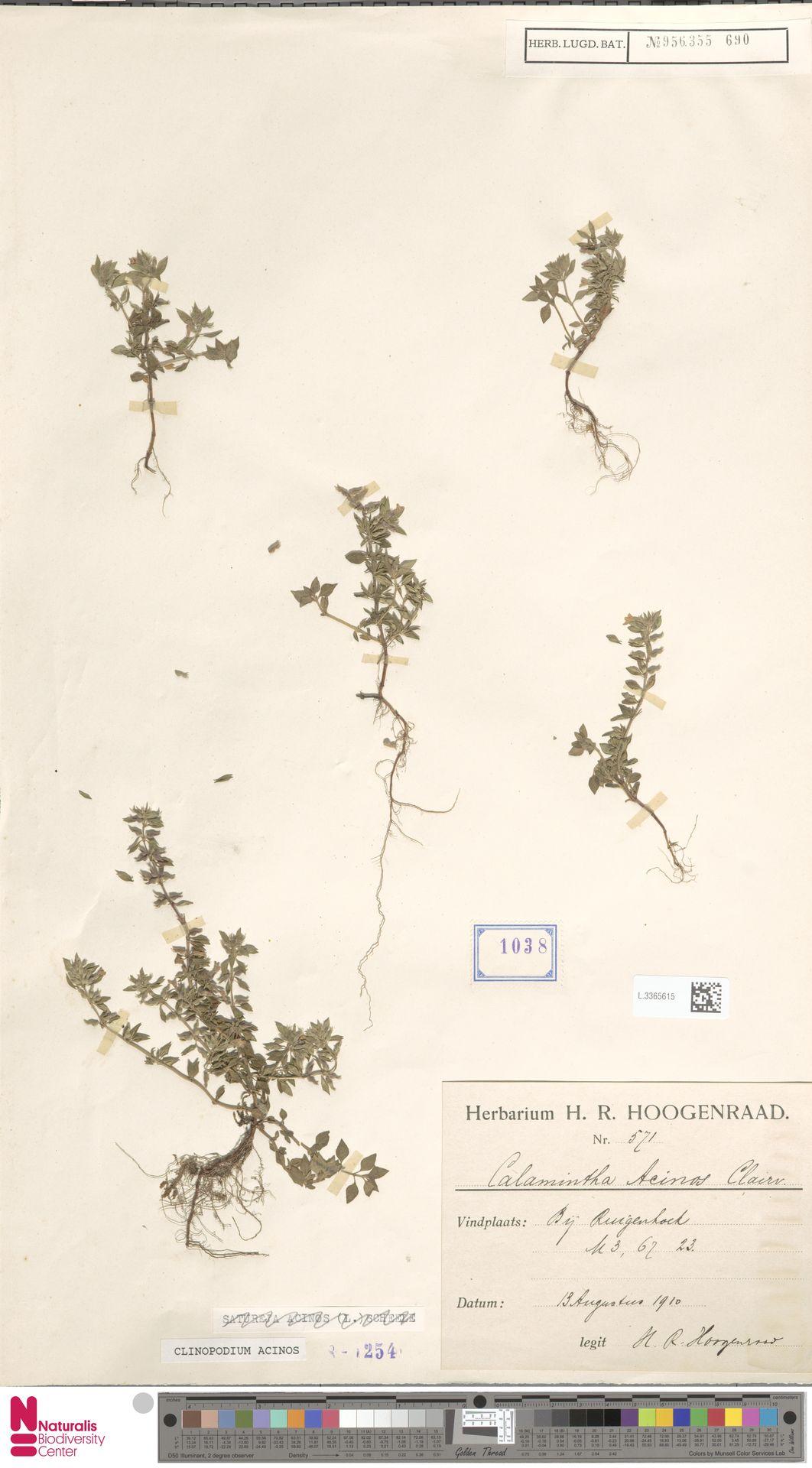 L.3365615 | Clinopodium acinos (L.) Kuntze