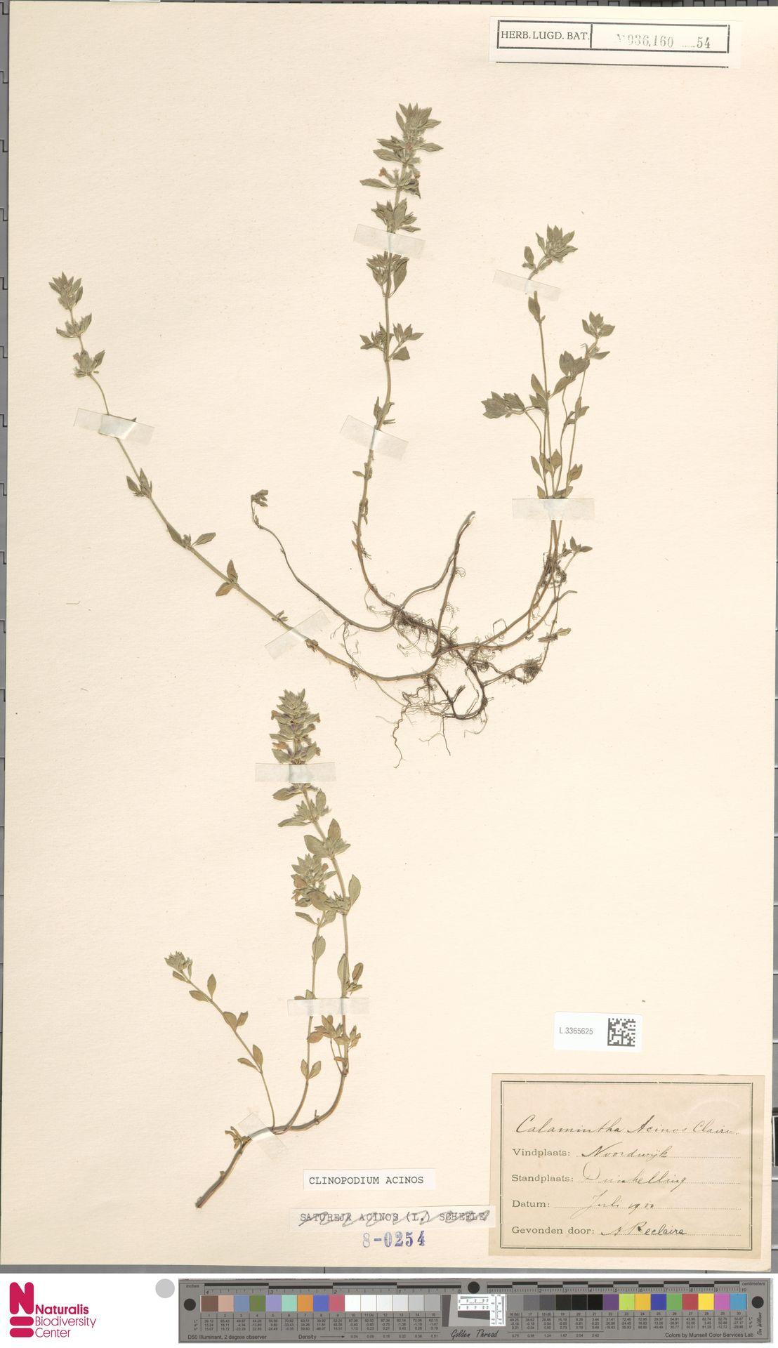 L.3365625   Clinopodium acinos (L.) Kuntze