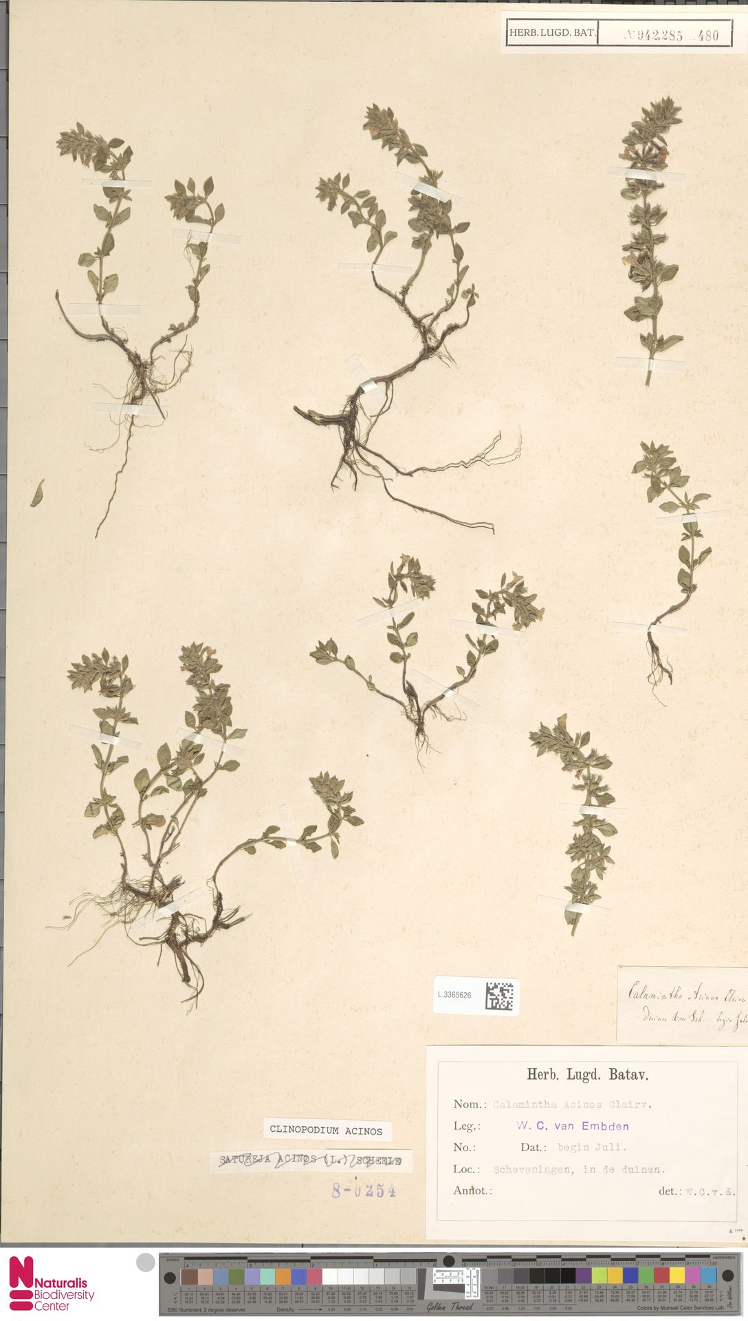 L.3365626   Clinopodium acinos (L.) Kuntze