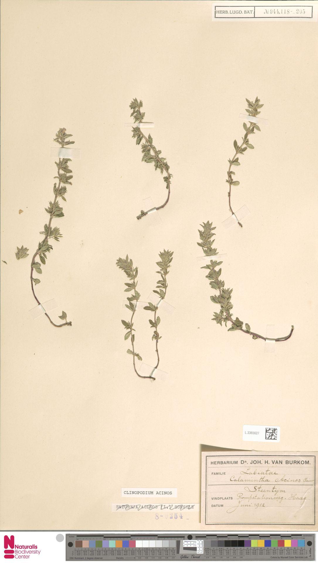 L.3365627 | Clinopodium acinos (L.) Kuntze