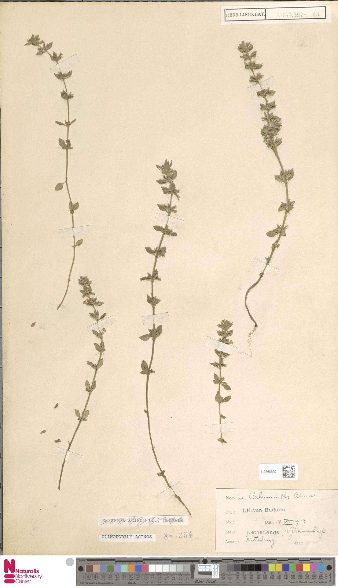 L.3365629   Clinopodium acinos (L.) Kuntze