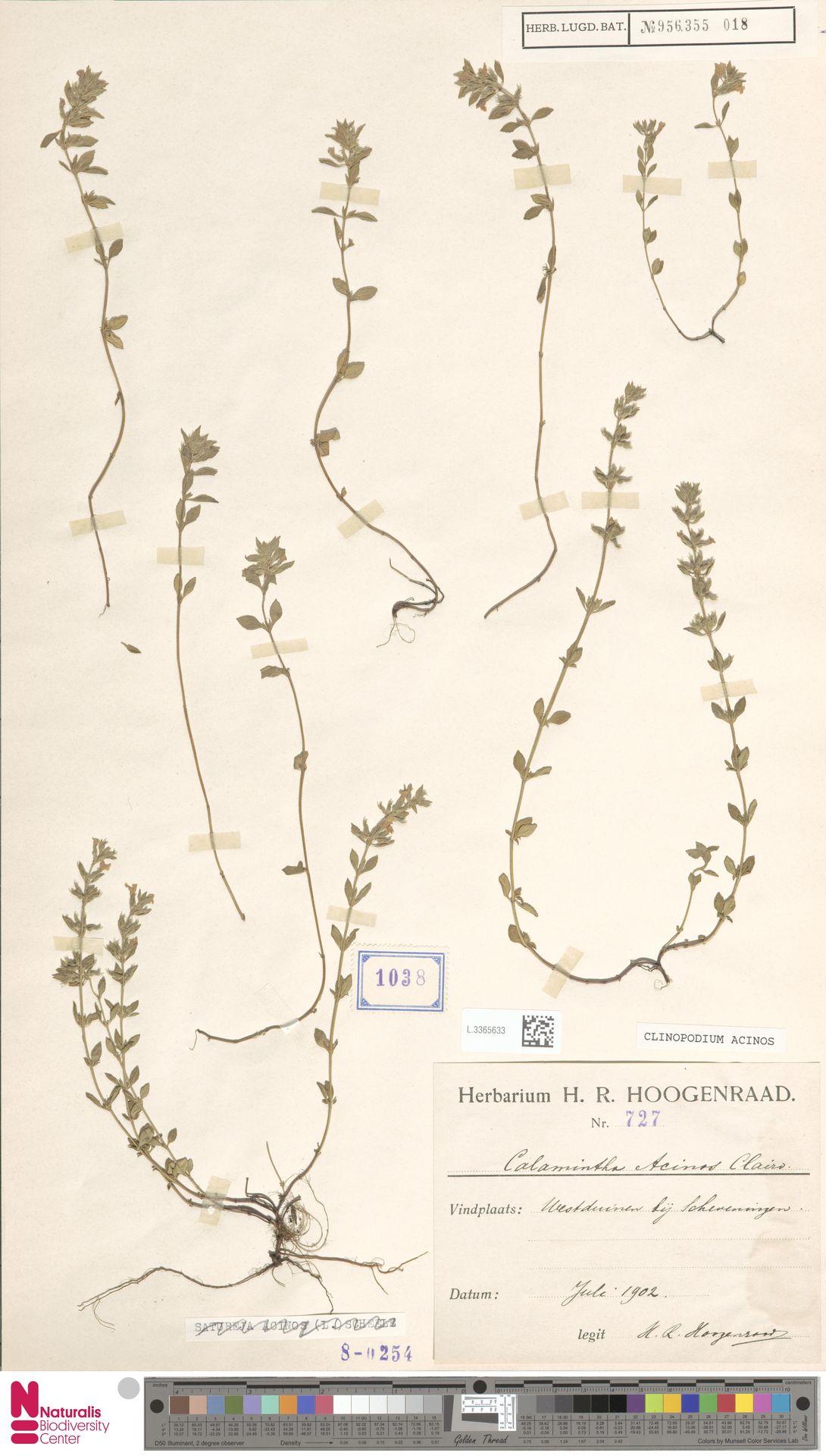L.3365633   Clinopodium acinos (L.) Kuntze