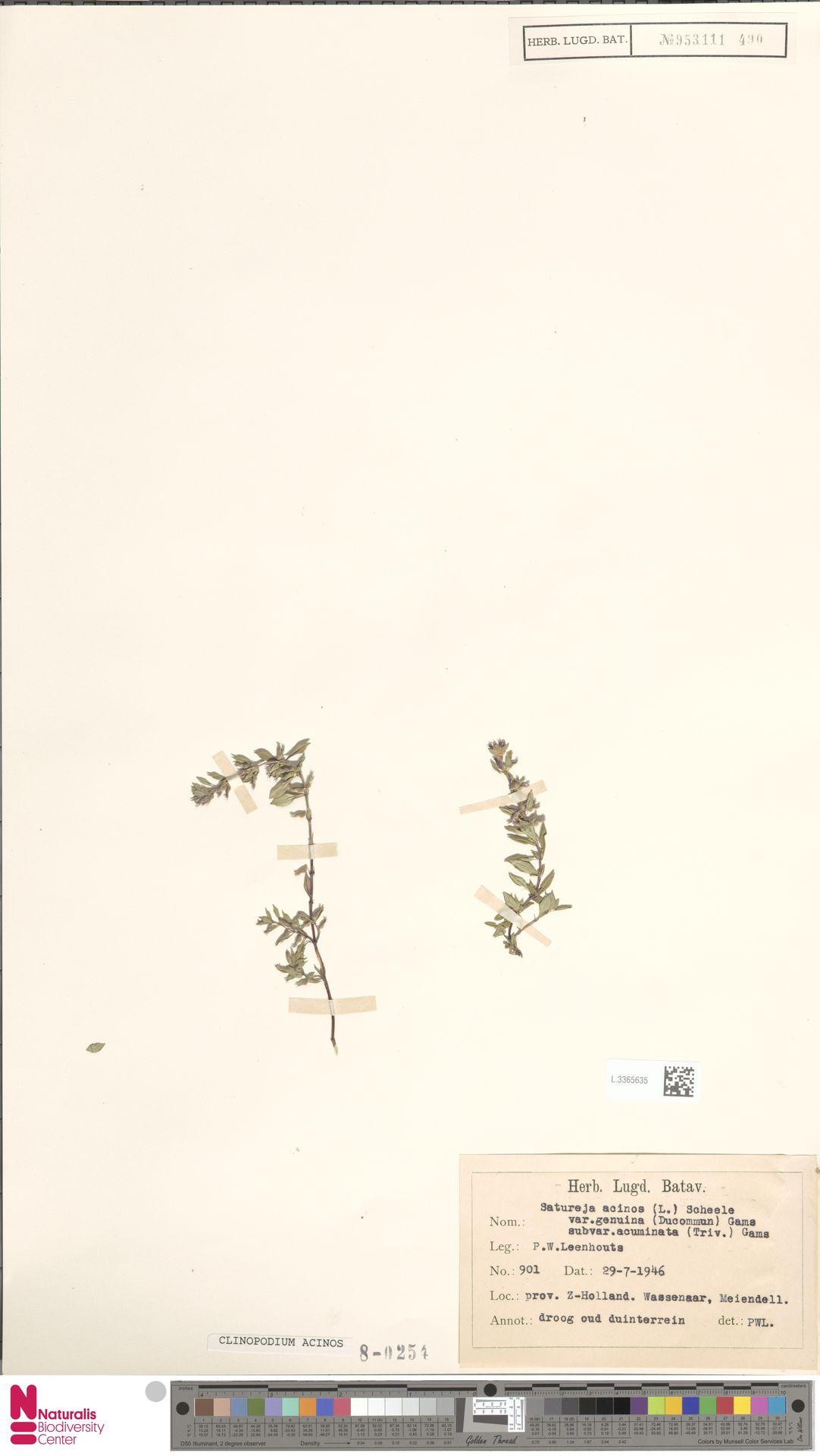 L.3365635 | Clinopodium acinos (L.) Kuntze