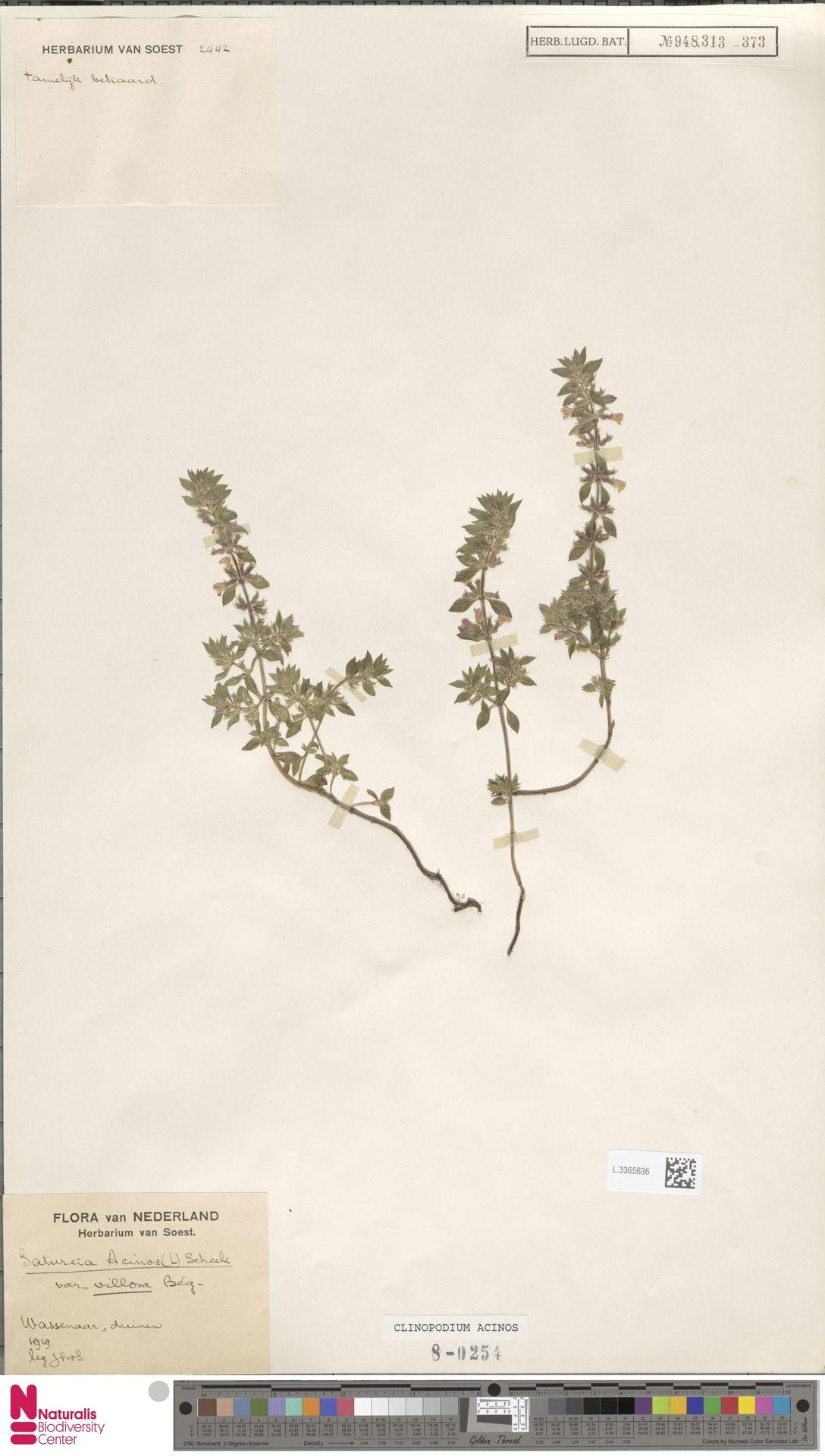 L.3365636 | Clinopodium acinos (L.) Kuntze