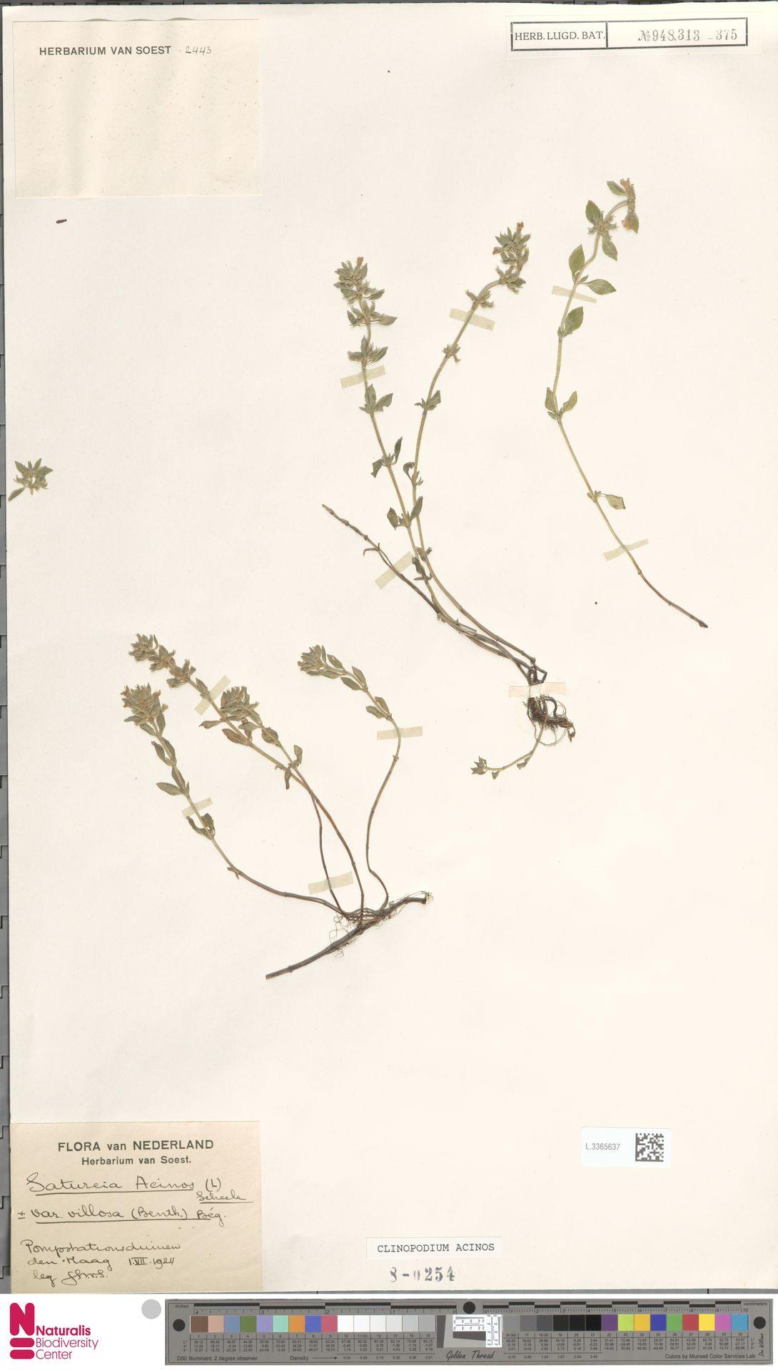 L.3365637 | Clinopodium acinos (L.) Kuntze