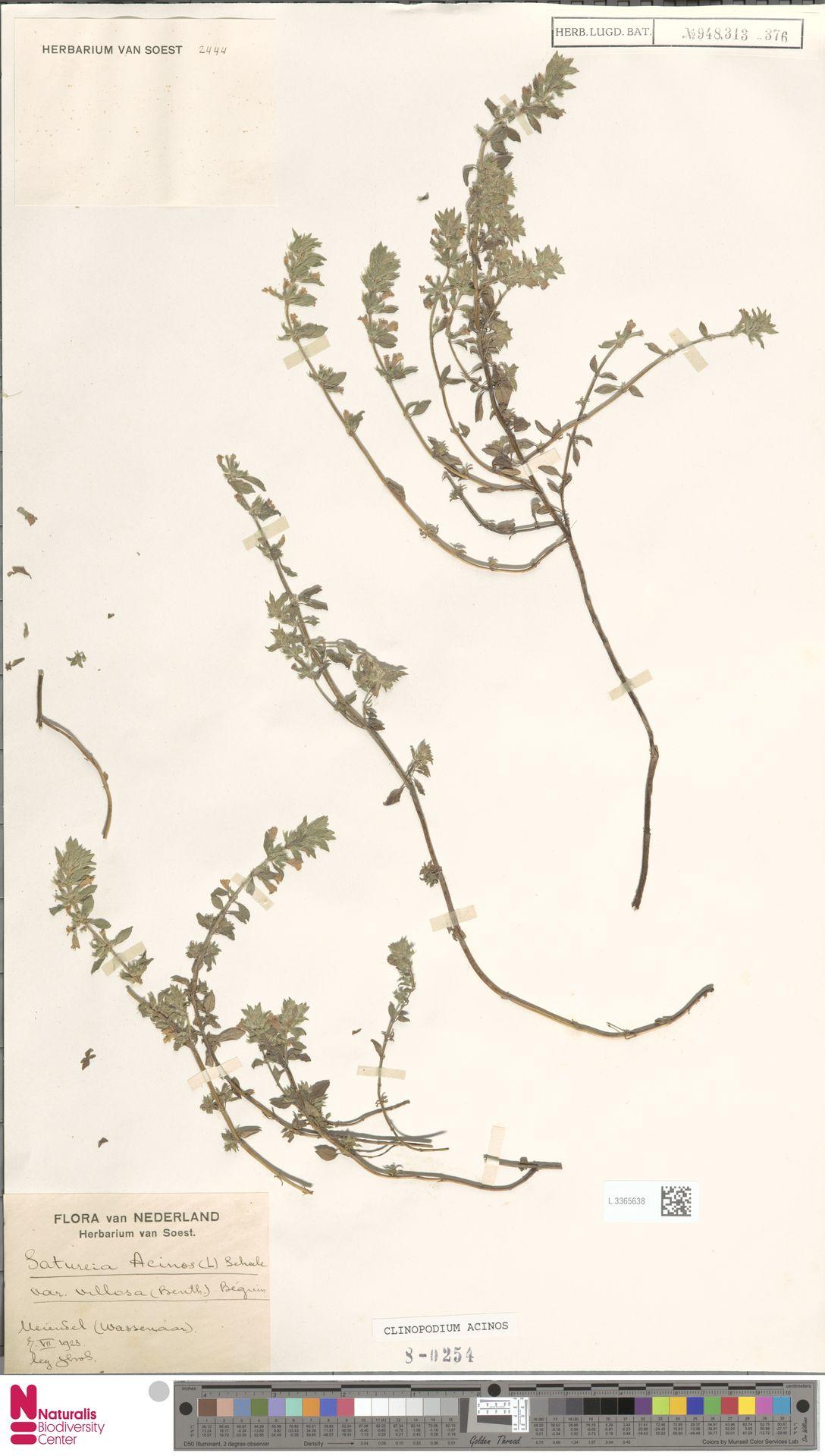 L.3365638 | Clinopodium acinos (L.) Kuntze