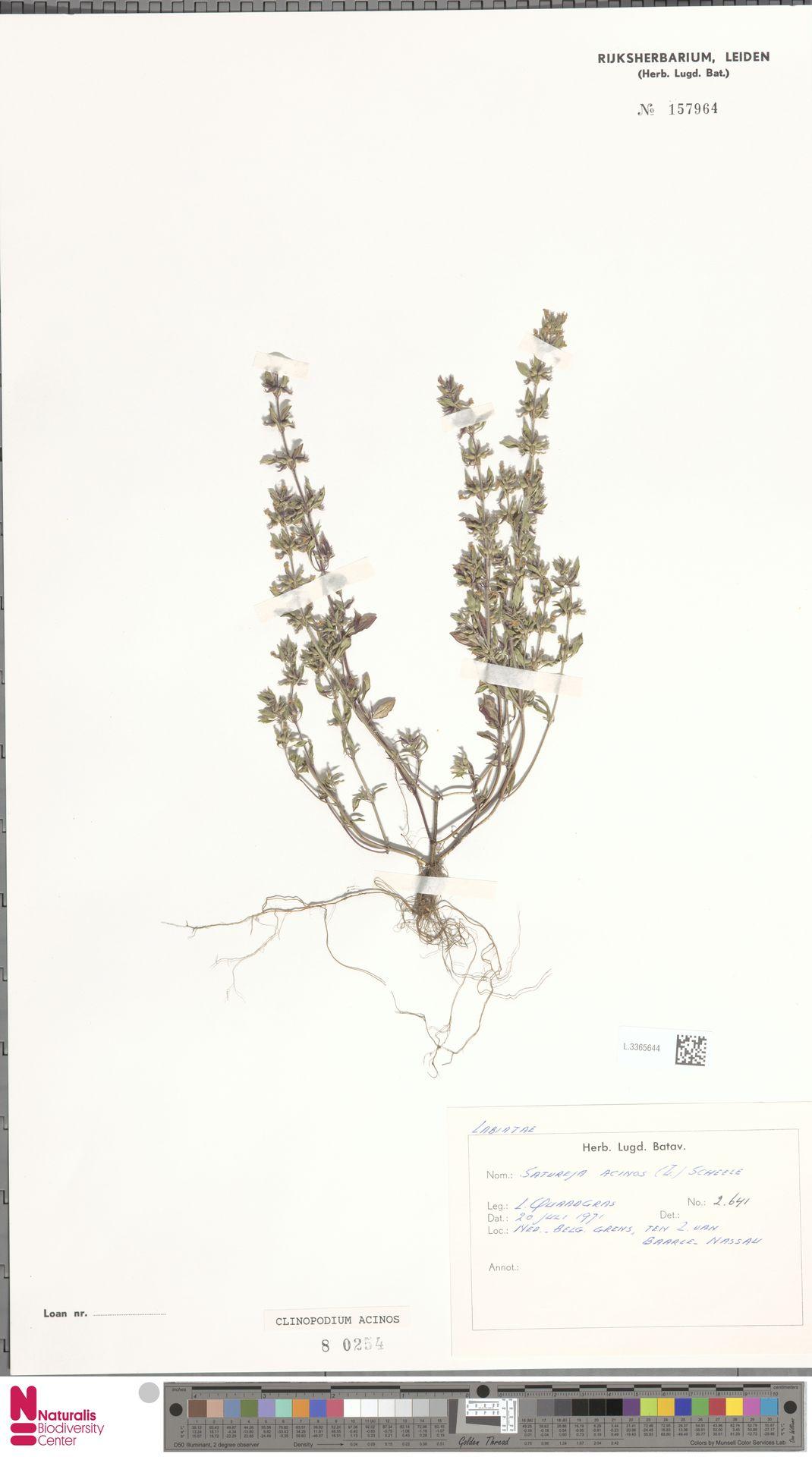 L.3365644   Clinopodium acinos (L.) Kuntze