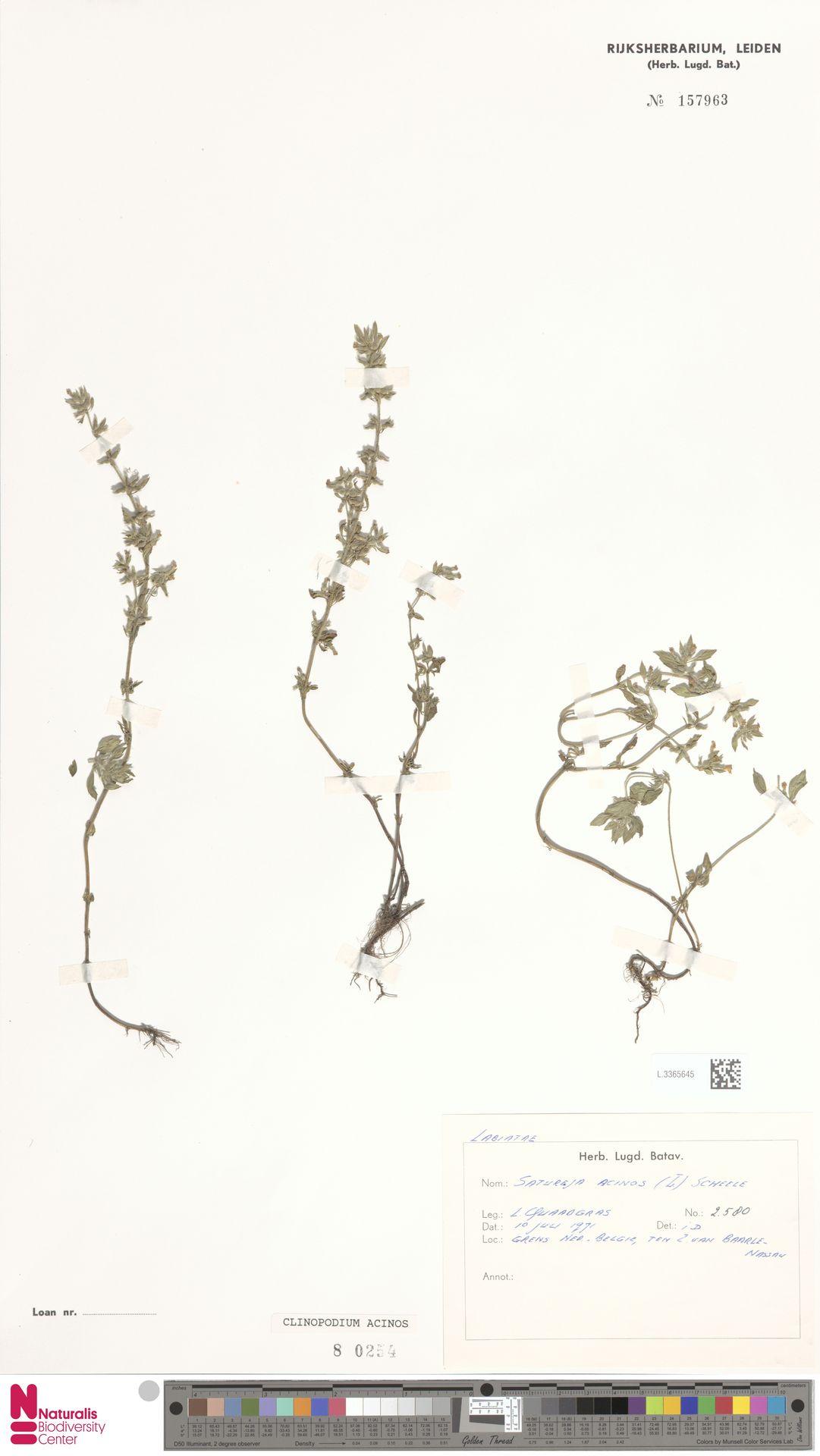 L.3365645 | Clinopodium acinos (L.) Kuntze