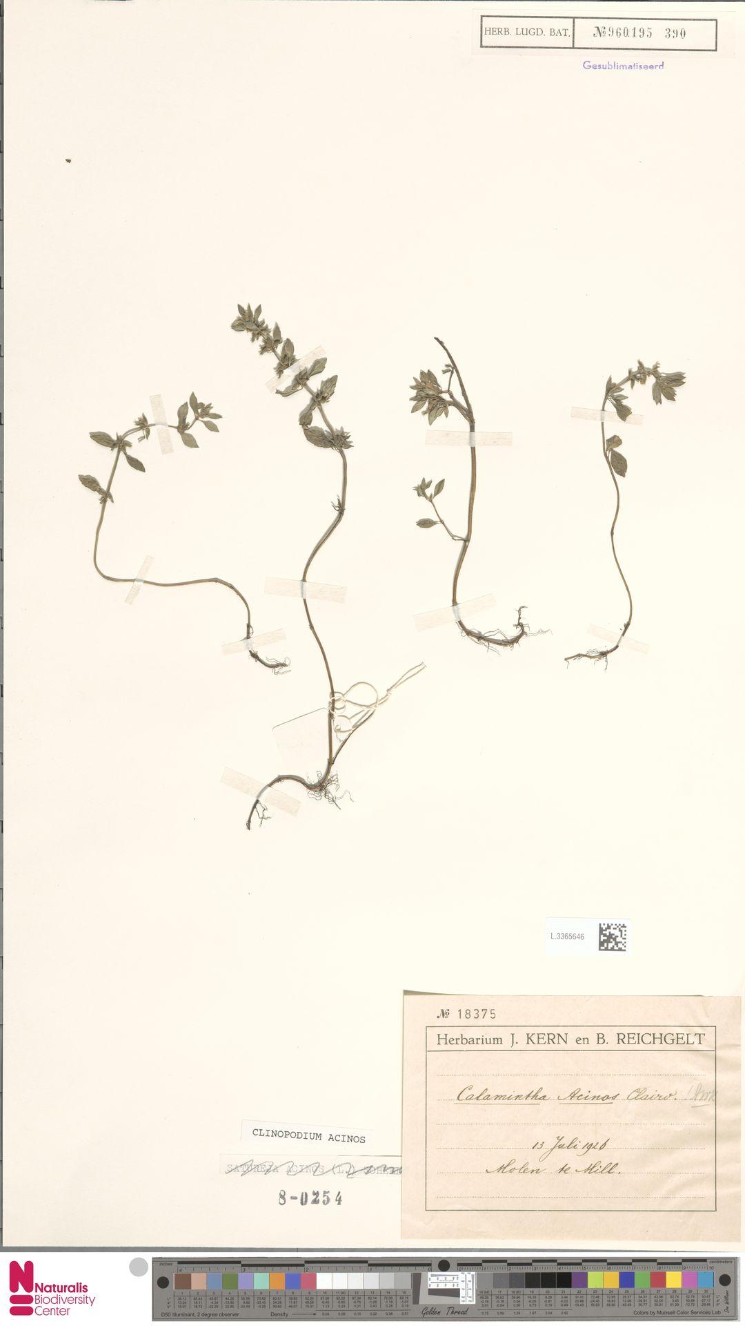 L.3365646 | Clinopodium acinos (L.) Kuntze