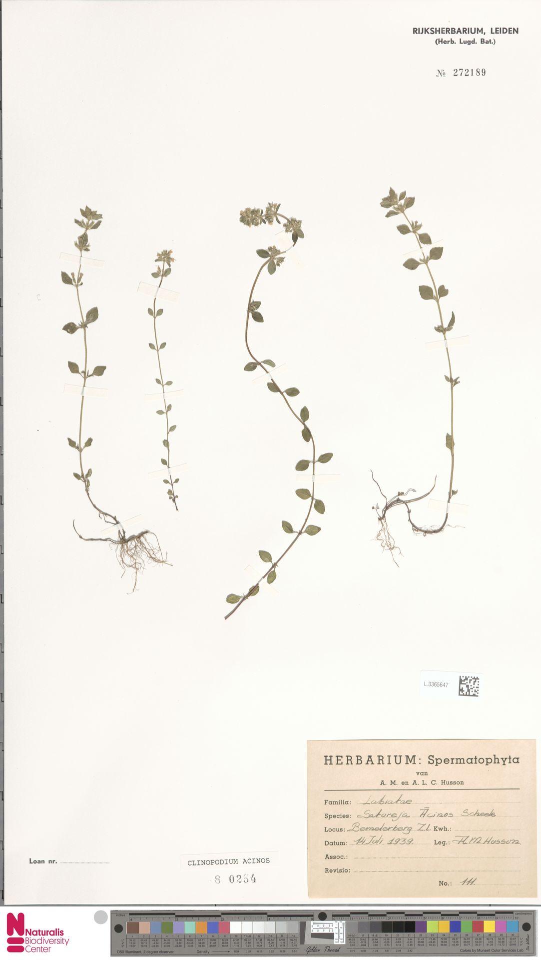 L.3365647   Clinopodium acinos (L.) Kuntze