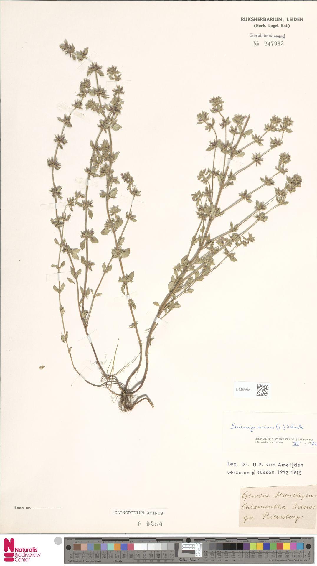 L.3365648   Clinopodium acinos (L.) Kuntze