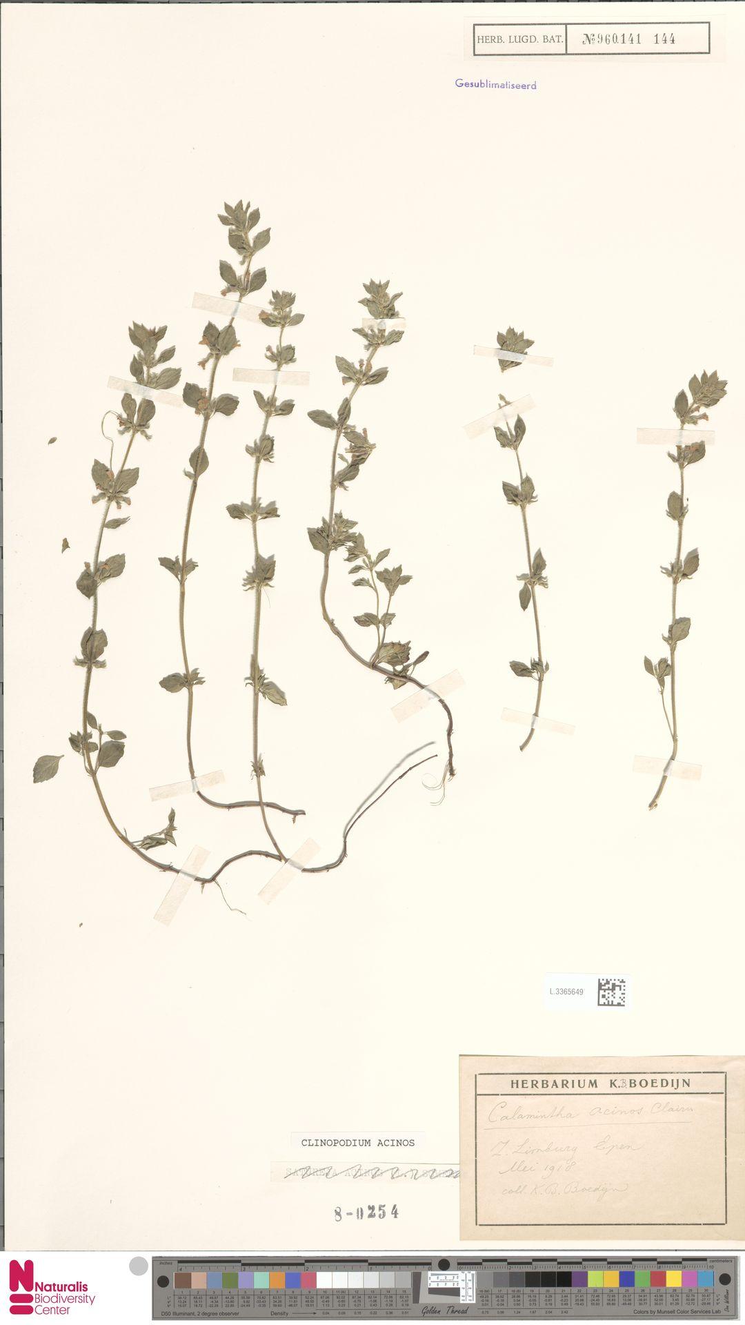 L.3365649 | Clinopodium acinos (L.) Kuntze