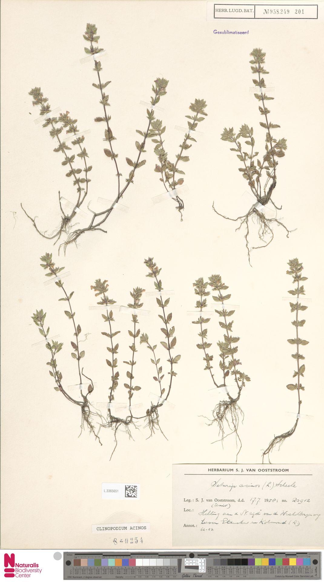 L.3365651 | Clinopodium acinos (L.) Kuntze