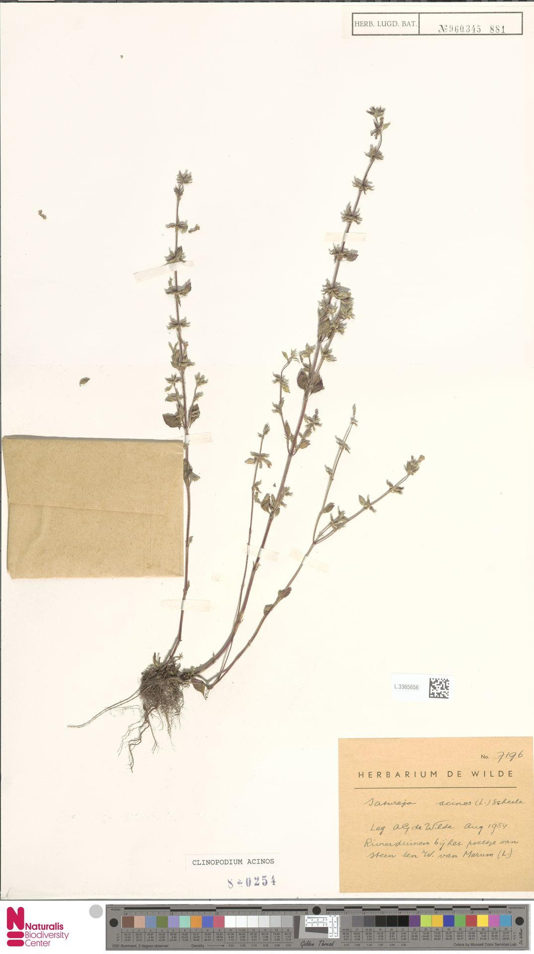 L.3365656 | Clinopodium acinos (L.) Kuntze