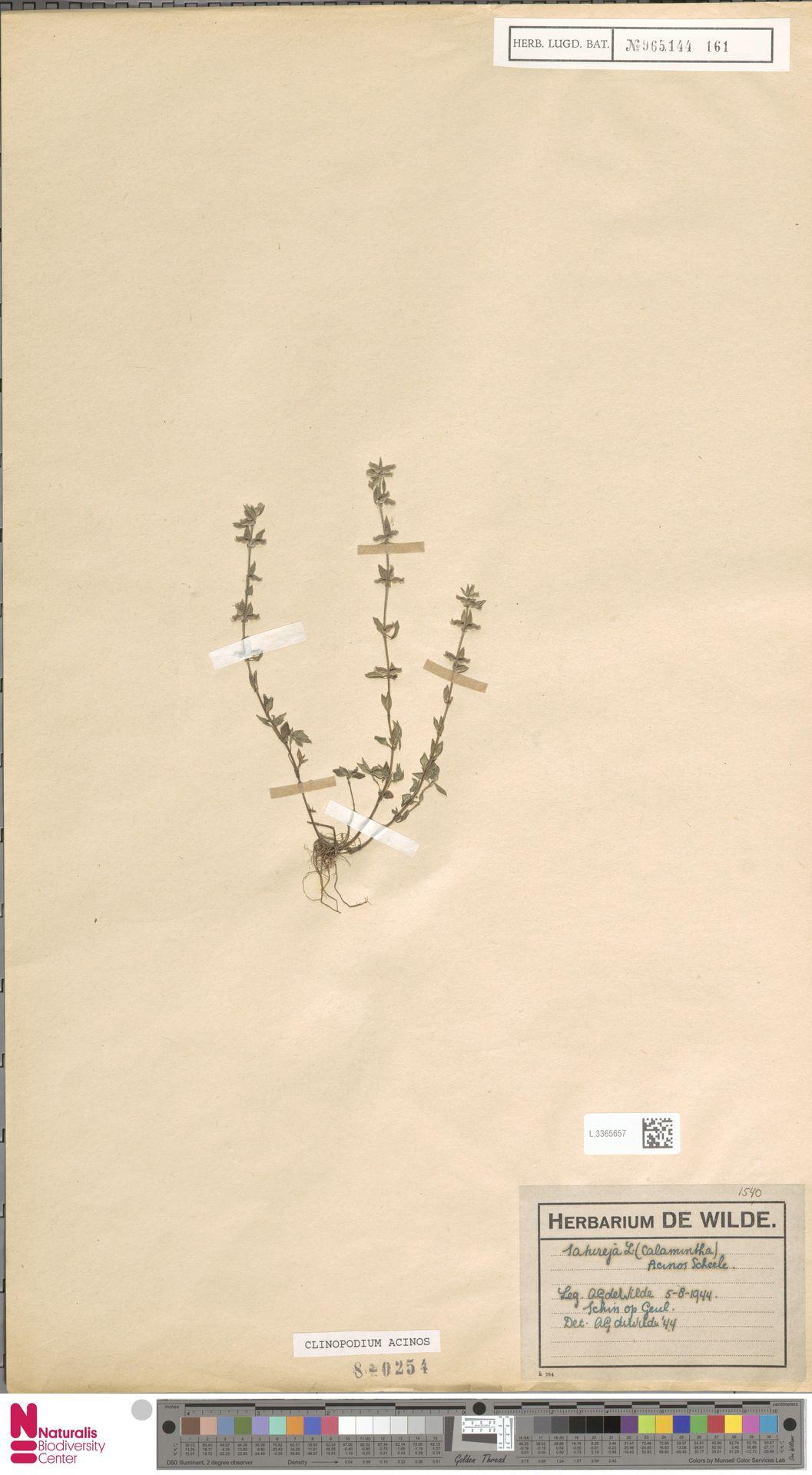 L.3365657 | Clinopodium acinos (L.) Kuntze