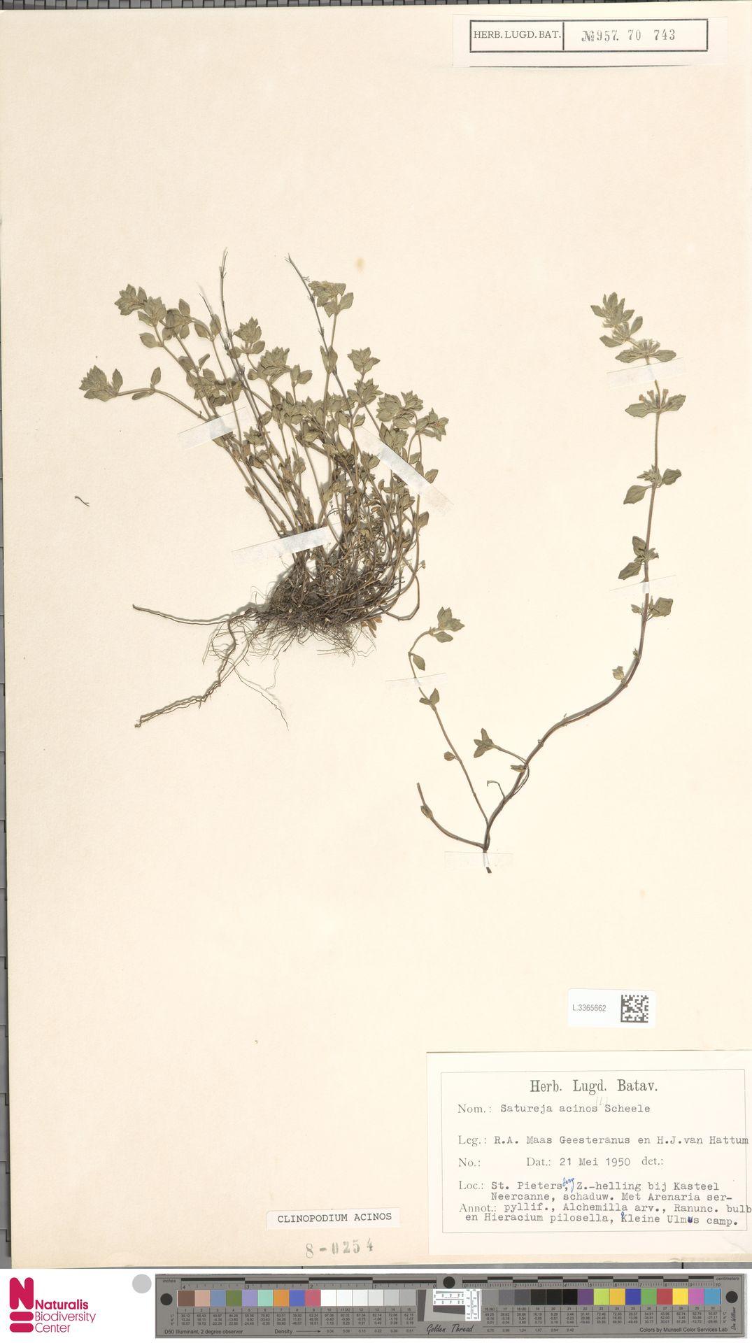 L.3365662 | Clinopodium acinos (L.) Kuntze