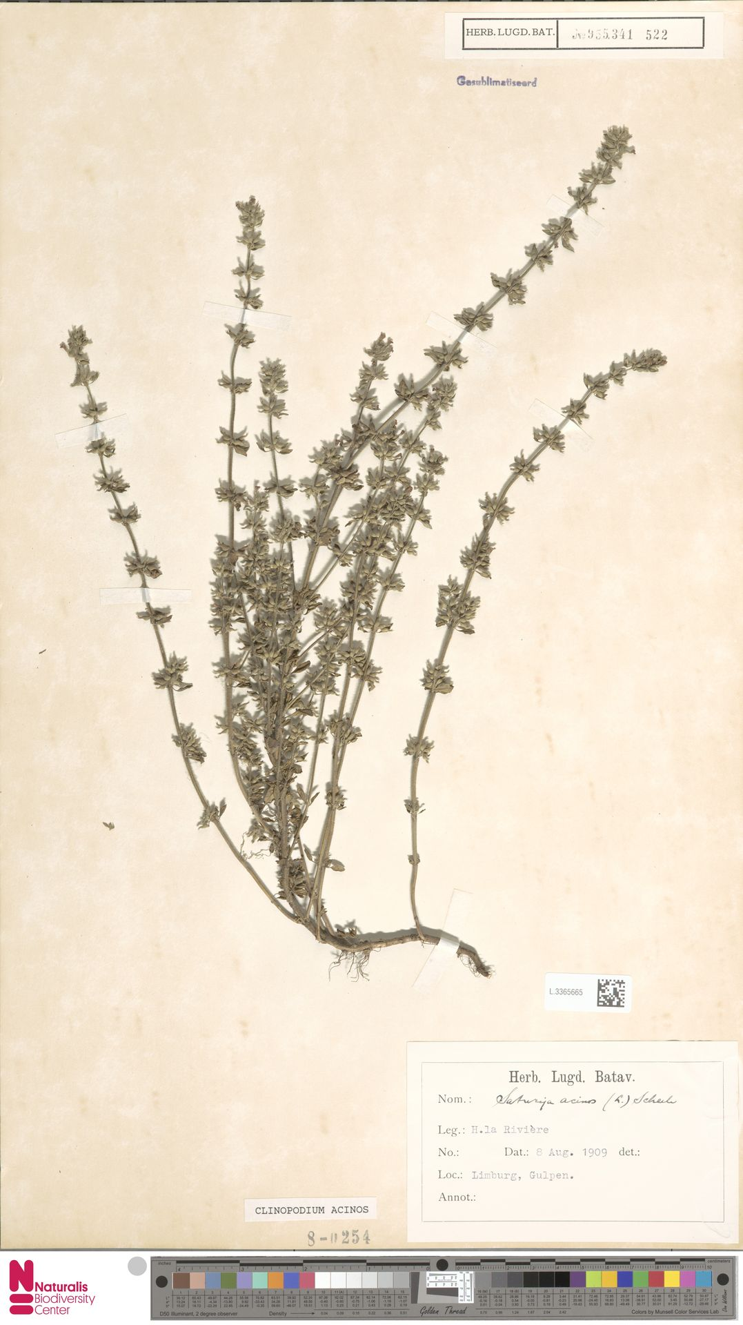 L.3365665   Clinopodium acinos (L.) Kuntze