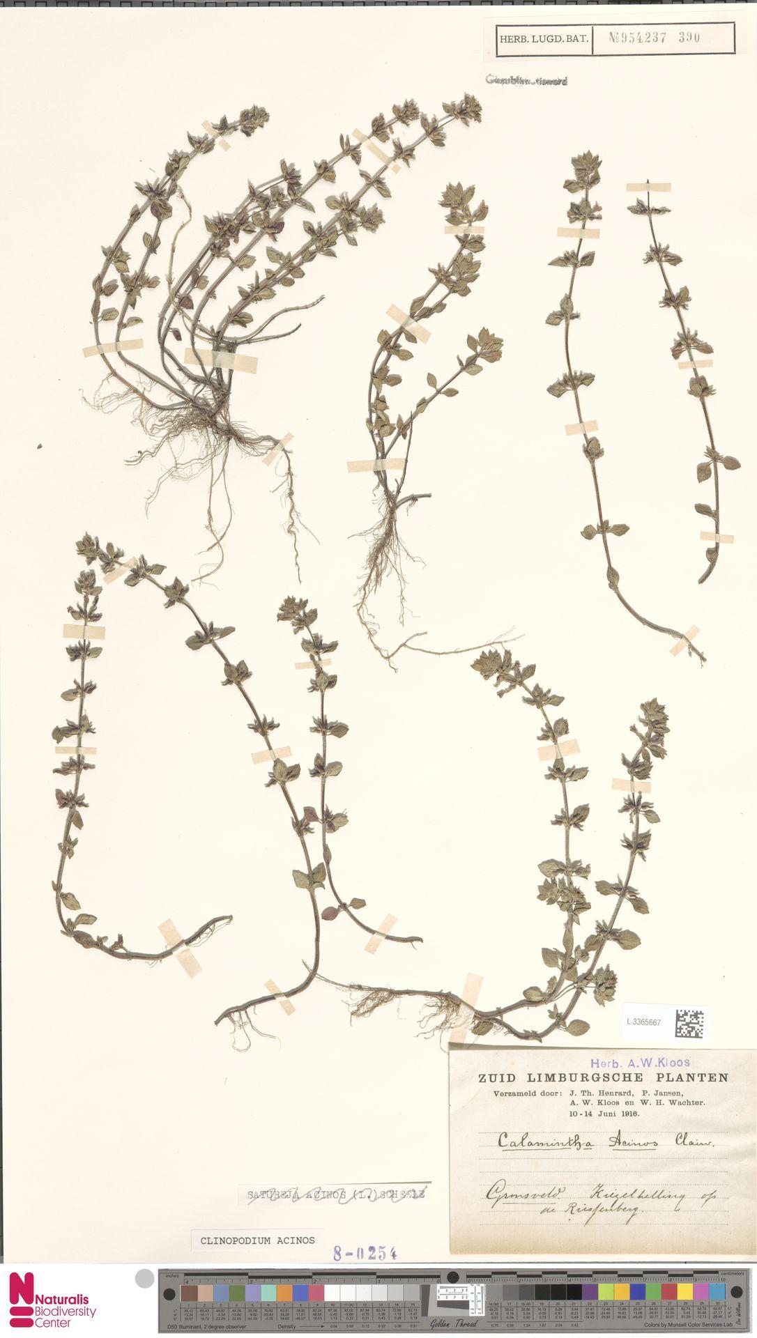 L.3365667 | Clinopodium acinos (L.) Kuntze