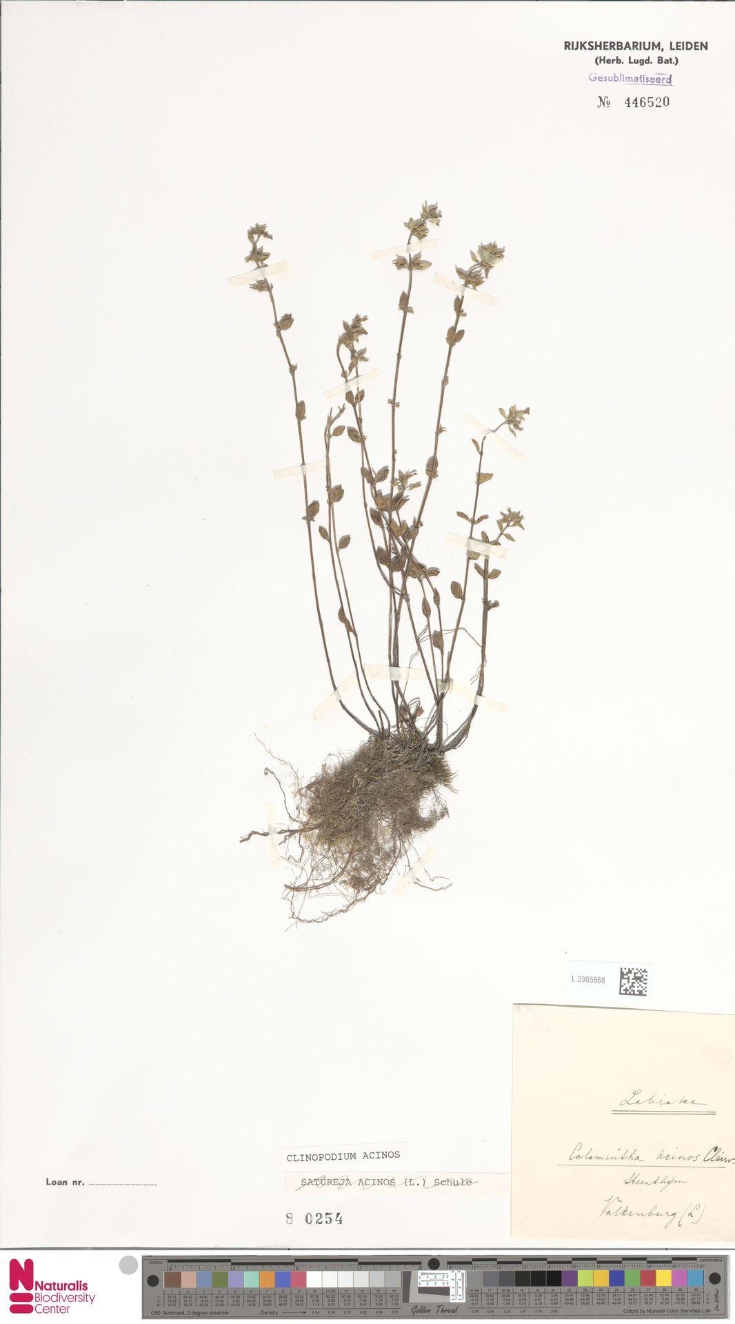 L.3365668 | Clinopodium acinos (L.) Kuntze