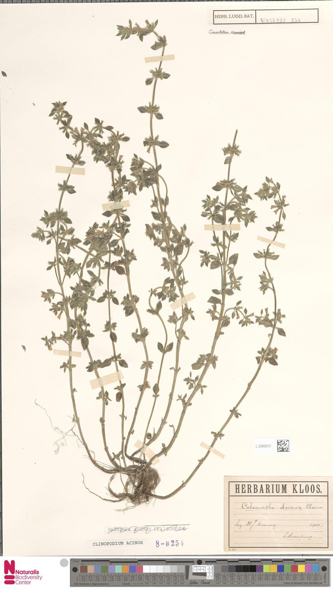 L.3365672   Clinopodium acinos (L.) Kuntze