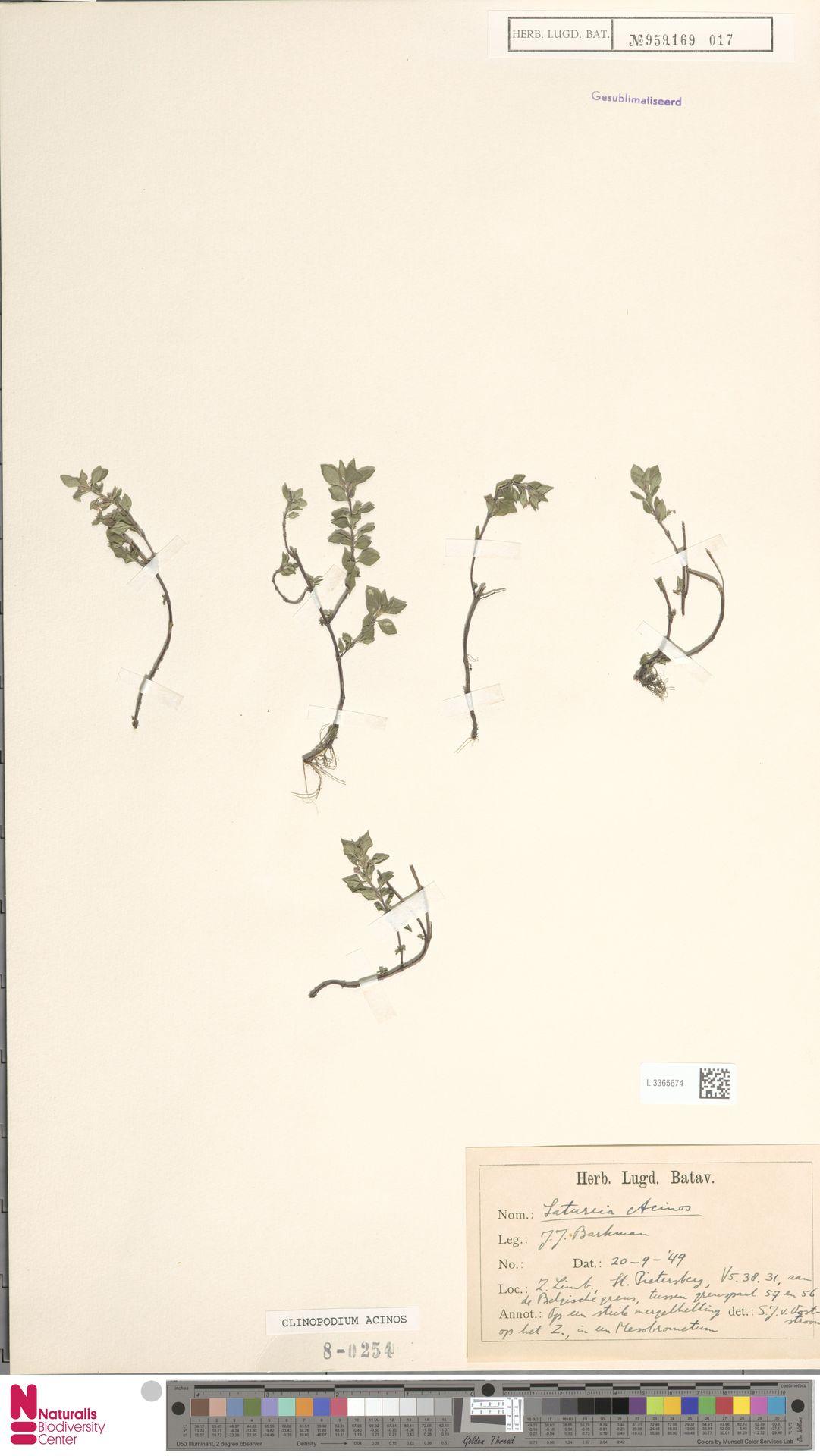 L.3365674 | Clinopodium acinos (L.) Kuntze