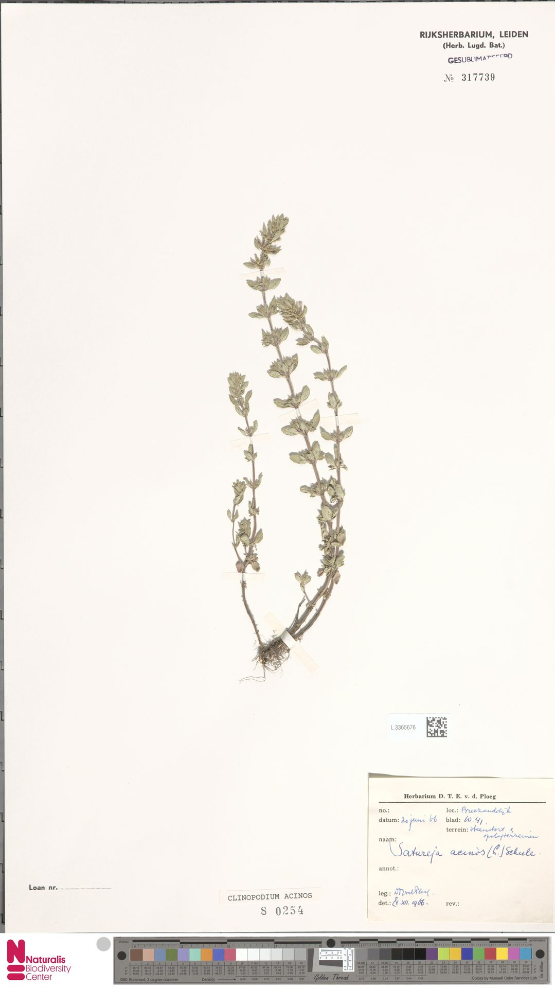 L.3365676 | Clinopodium acinos (L.) Kuntze