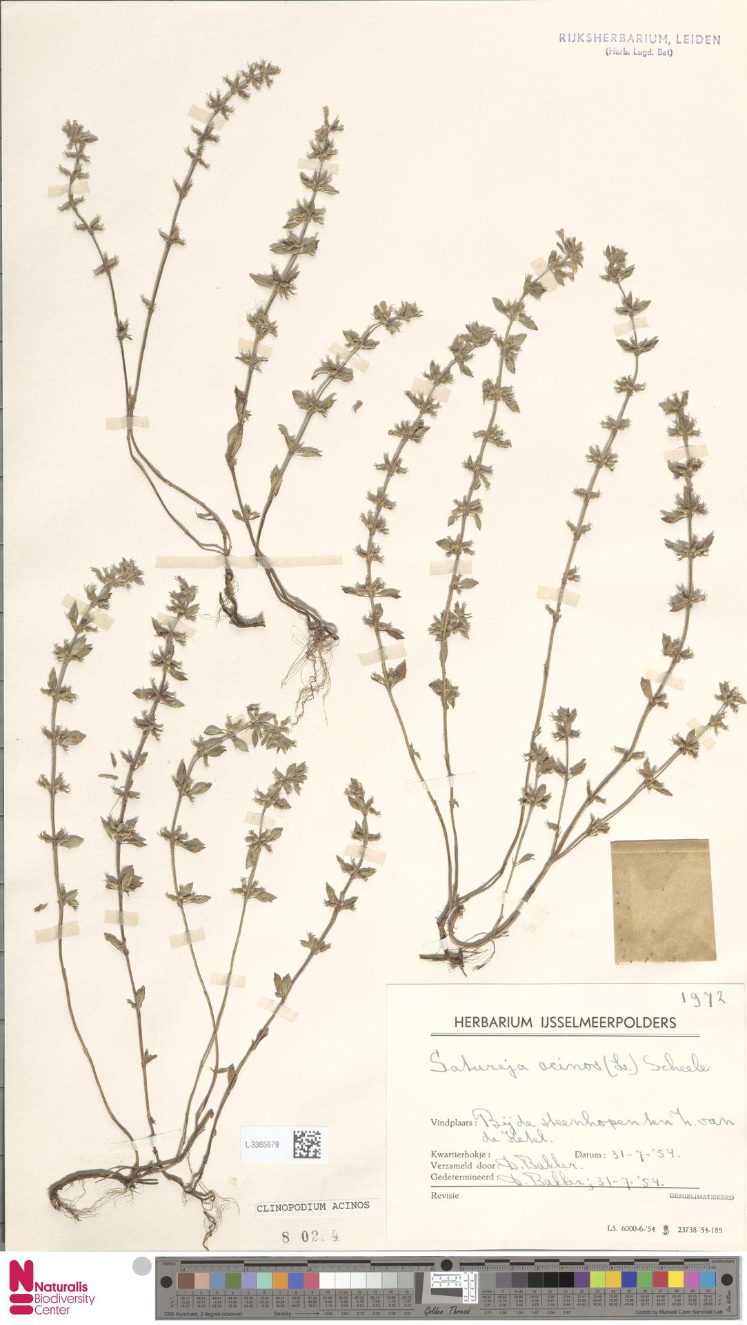 L.3365679 | Clinopodium acinos (L.) Kuntze