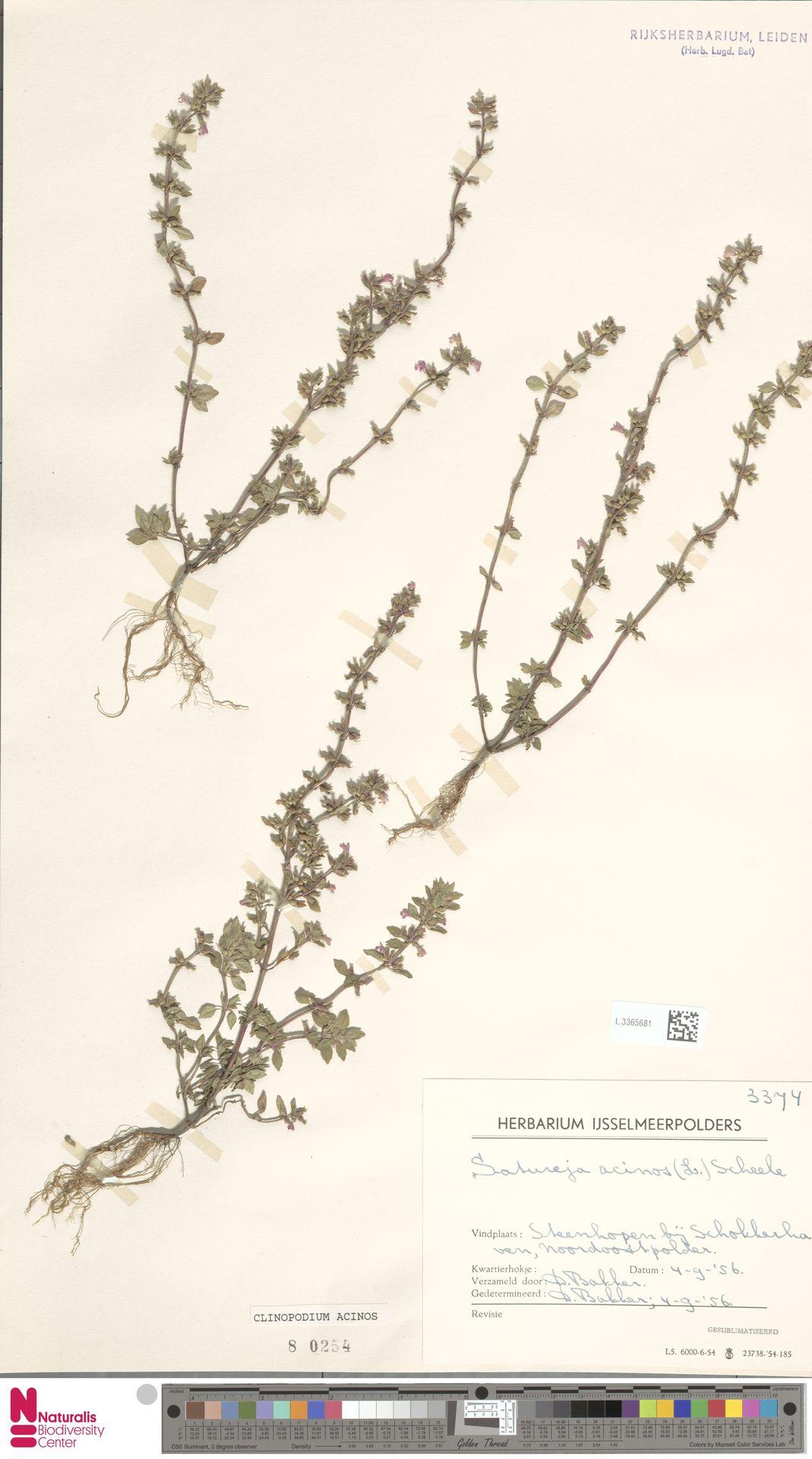 L.3365681 | Clinopodium acinos (L.) Kuntze