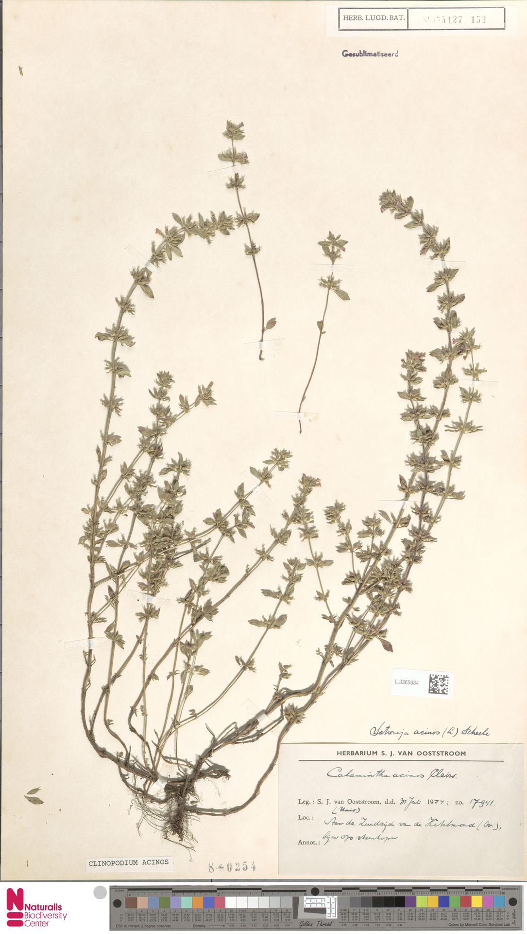 L.3365684 | Clinopodium acinos (L.) Kuntze