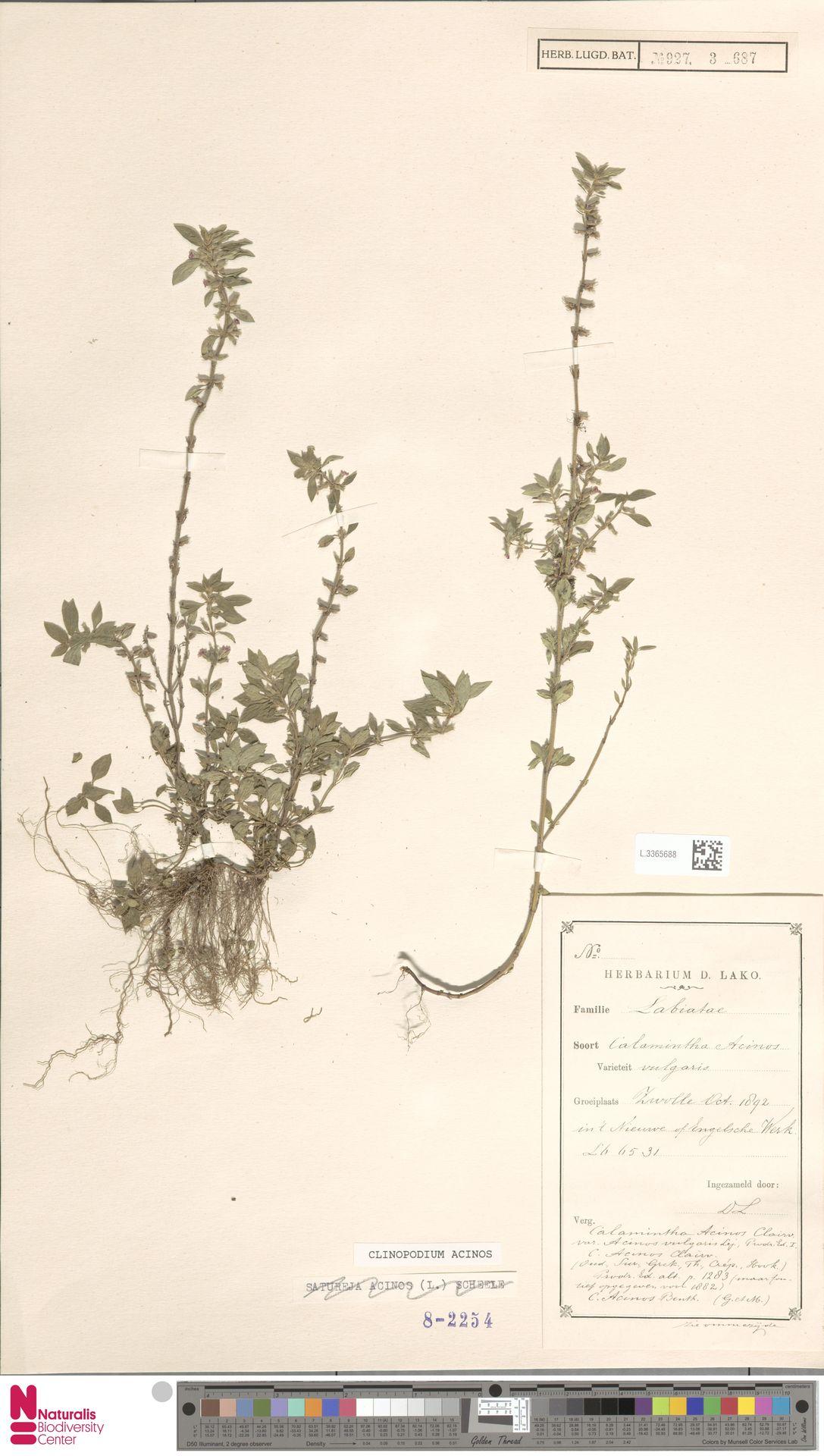 L.3365688 | Clinopodium acinos (L.) Kuntze
