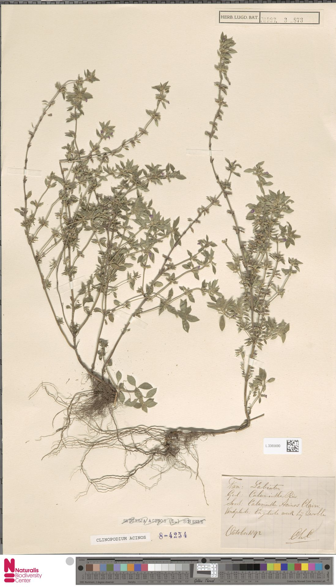 L.3365690 | Clinopodium acinos (L.) Kuntze