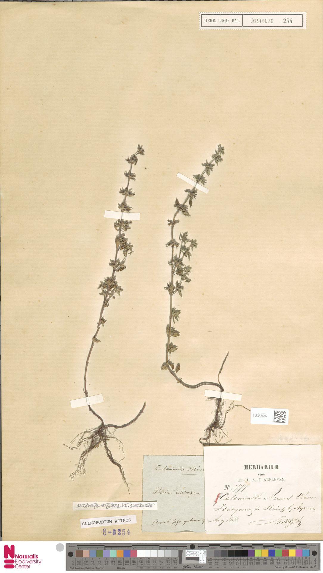 L.3365697 | Clinopodium acinos (L.) Kuntze