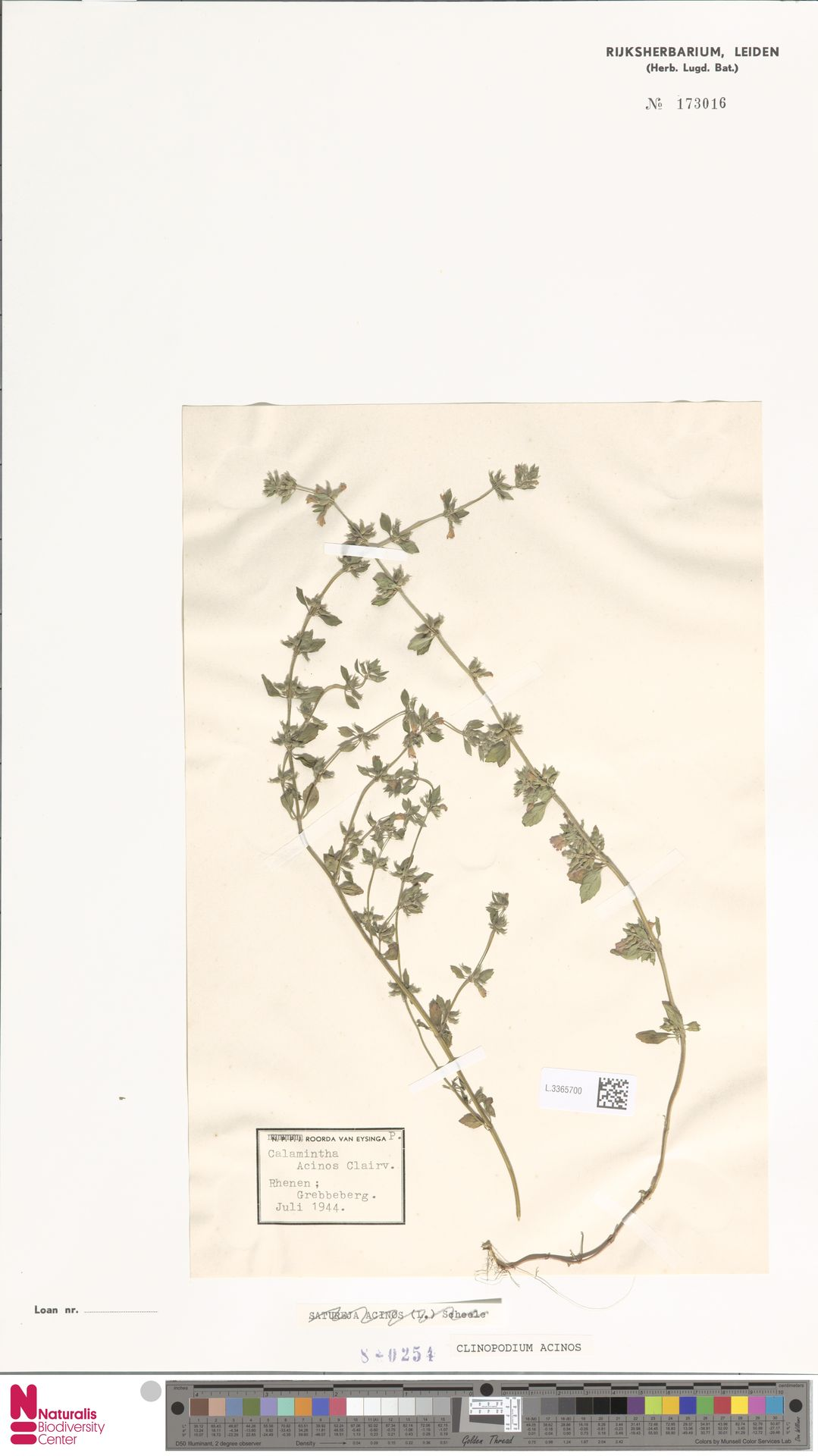 L.3365700 | Clinopodium acinos (L.) Kuntze