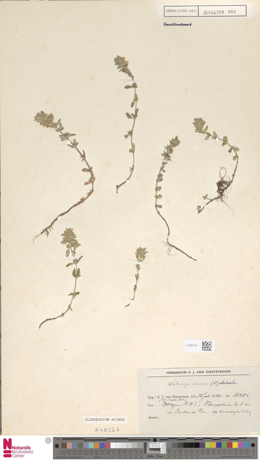L.3365714 | Clinopodium acinos (L.) Kuntze